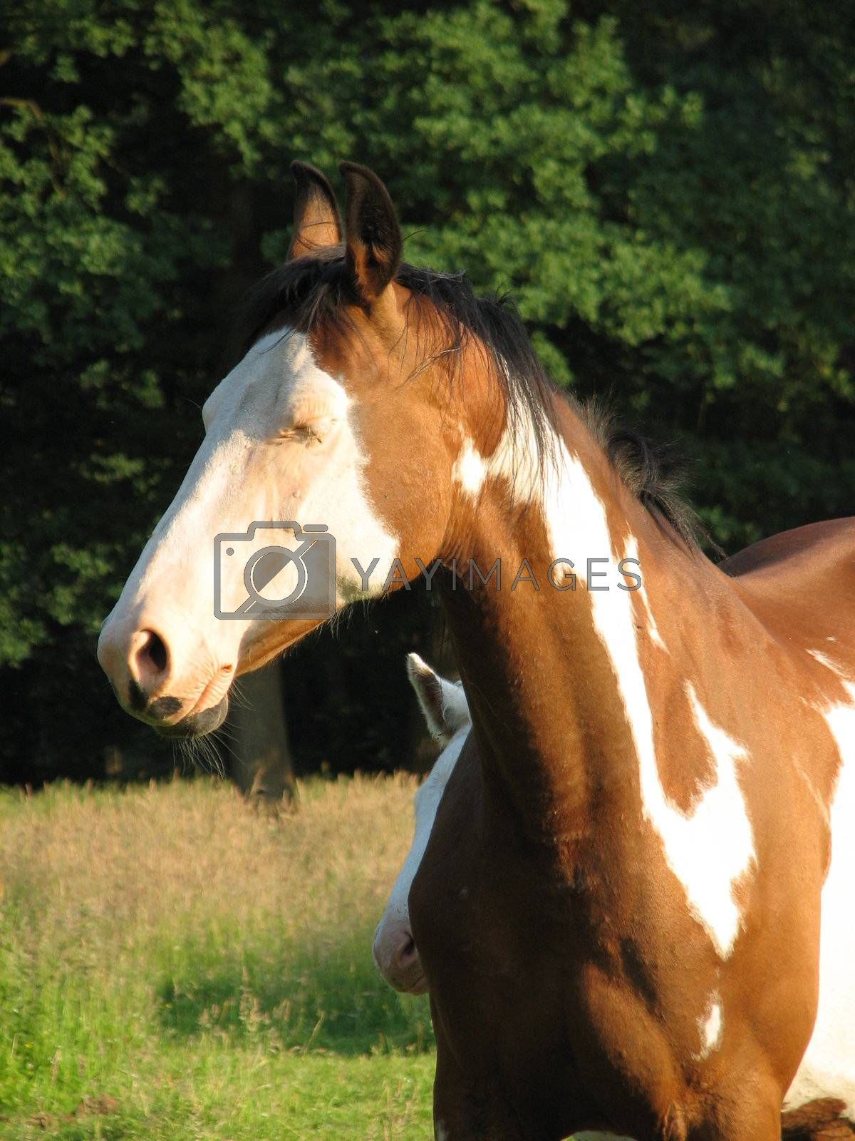 Pinto mare in the pasture