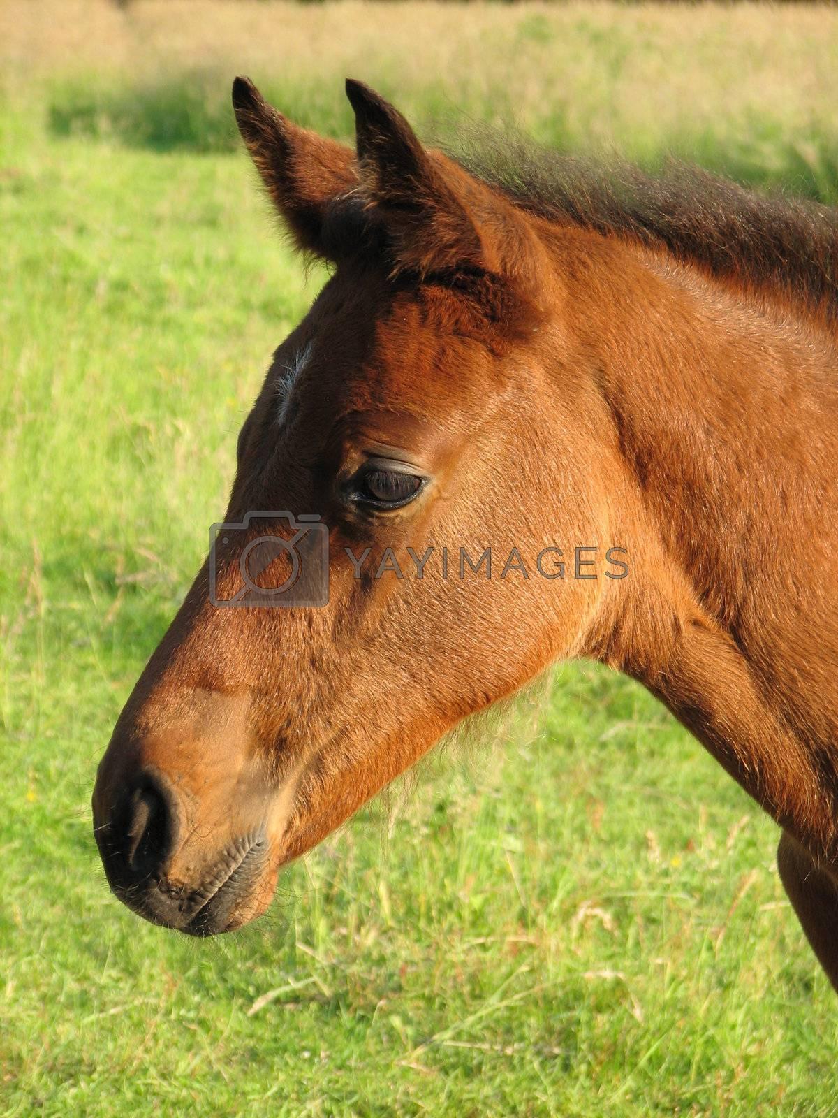 head of a brown foal