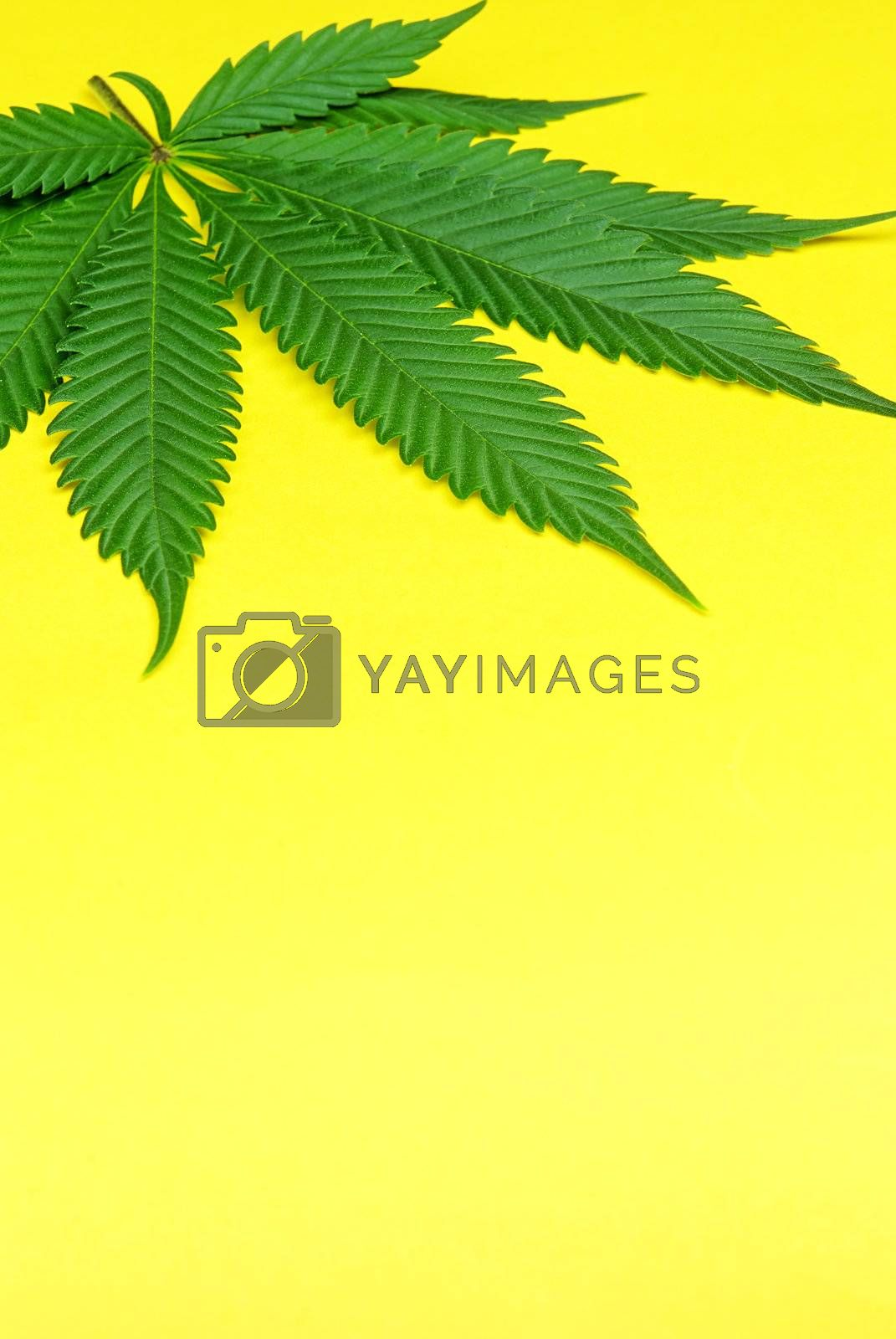 fresh Marijuana leaf photographed against yellow background