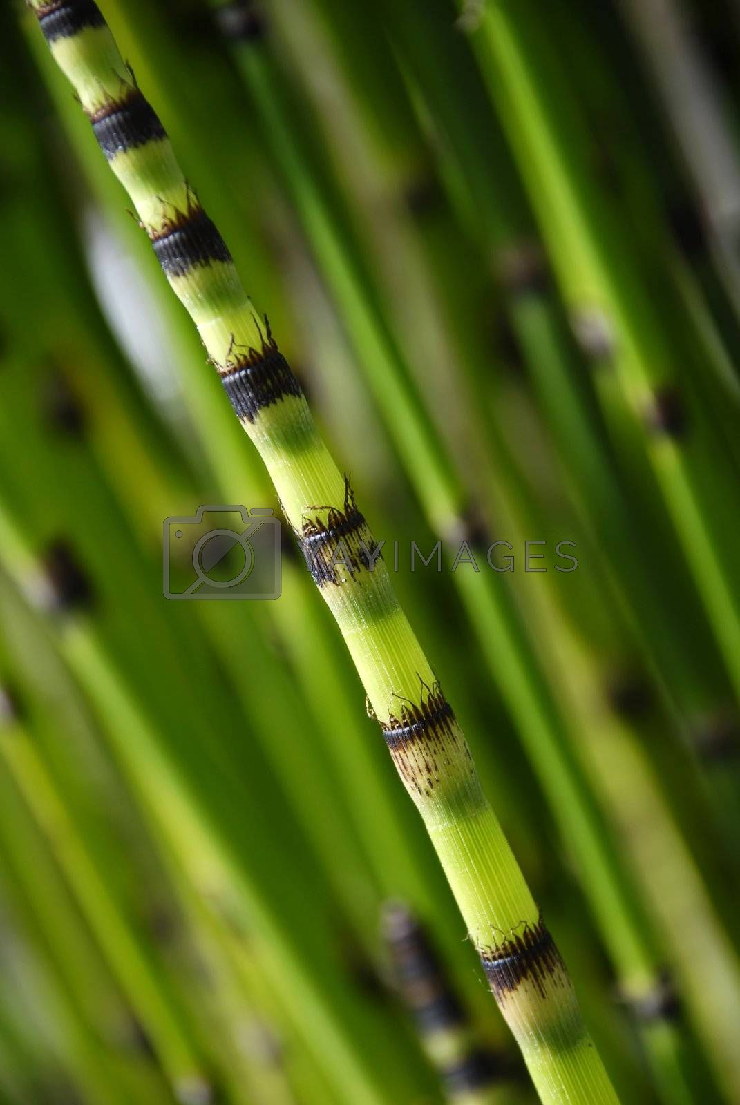 single shoot of bamboo set against out of foucs bamboo background