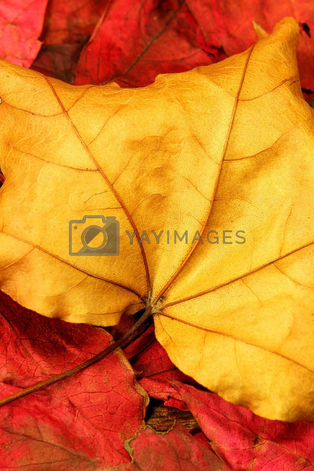Macro close-up of fallen autumn leaves
