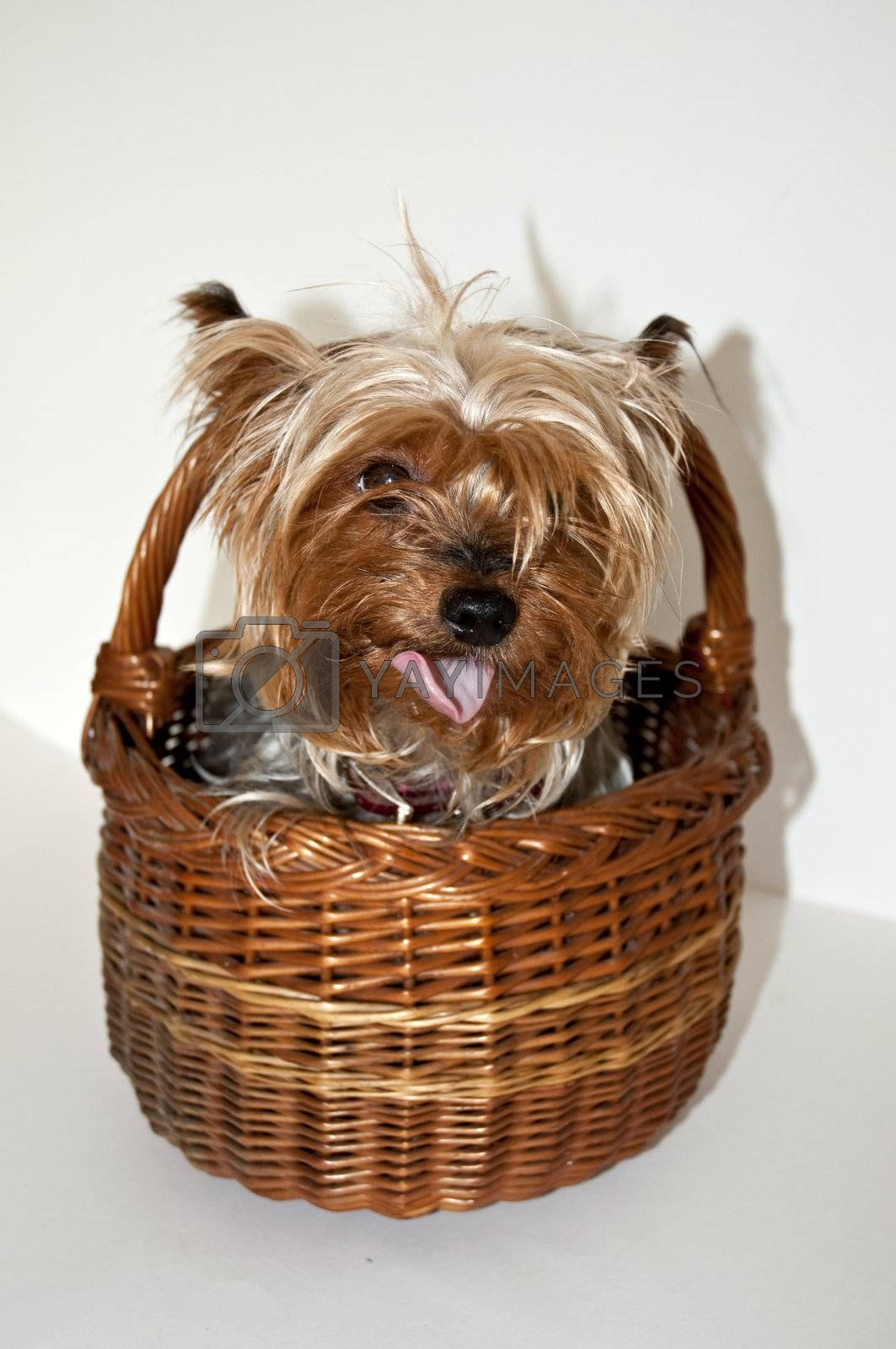 small toy dog in a basket yorkshire