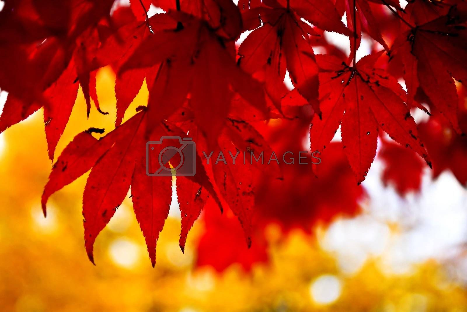 Red fall leaves of japanese maple close up
