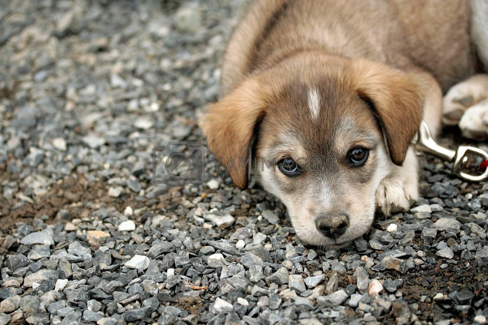 Sad puppy Royalty Free Stock Image | Stock Photos, Royalty ...