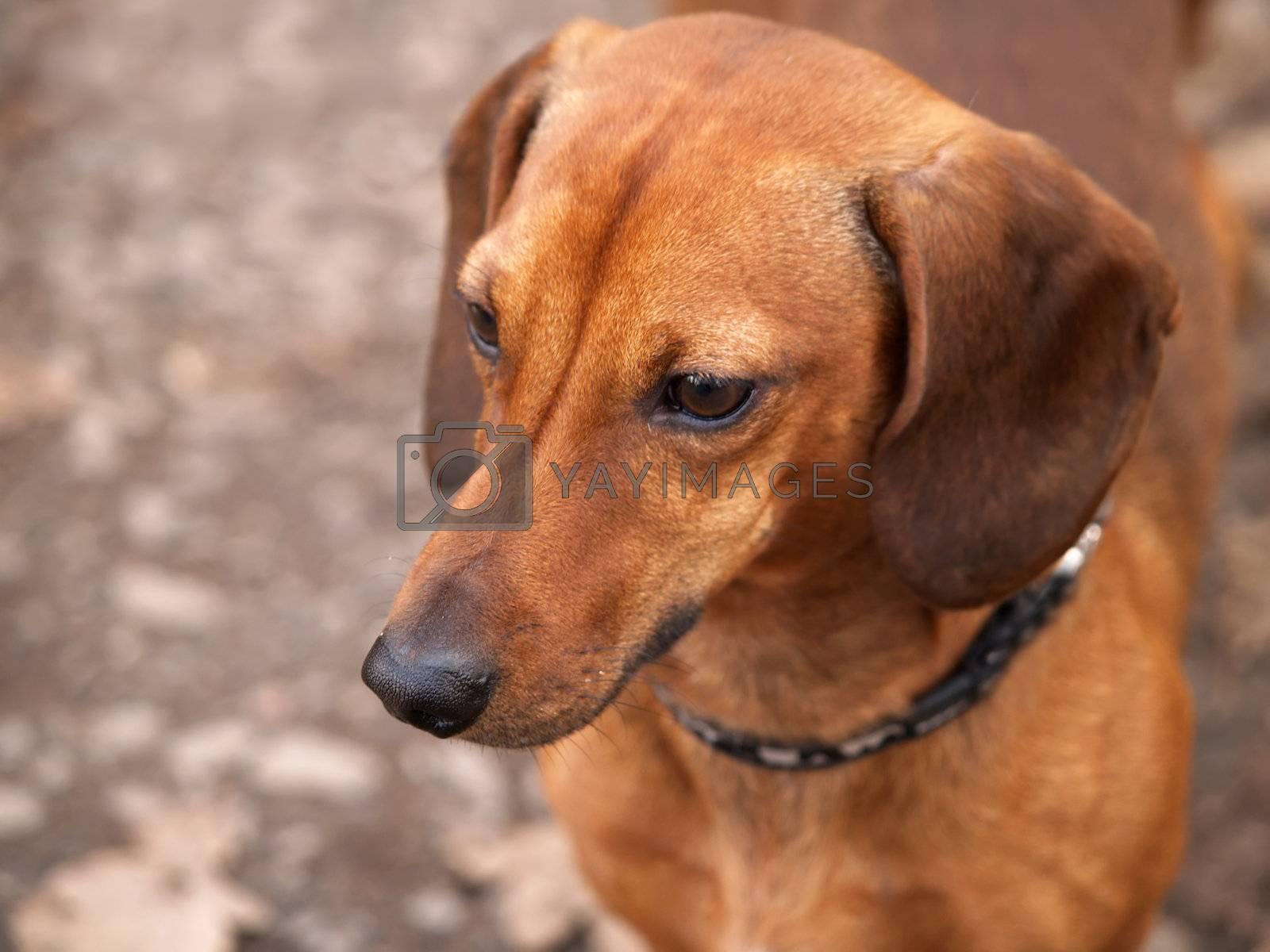 Daschund Dog by K_Kot