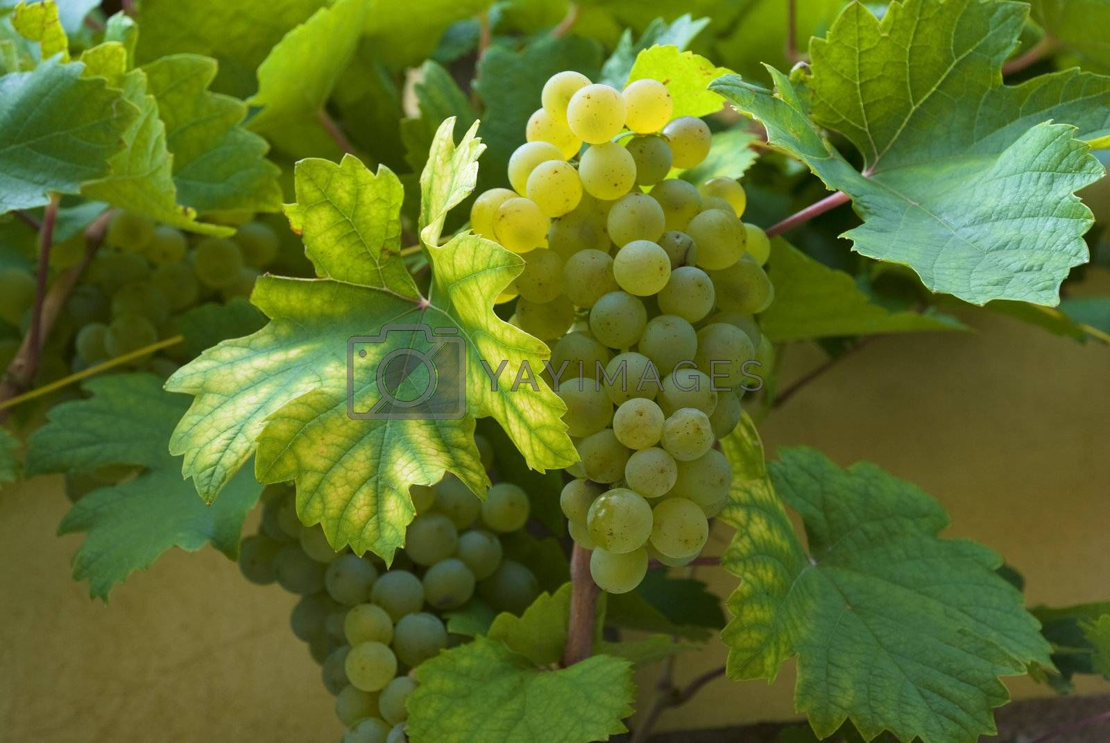 Green grapes and wine leaves