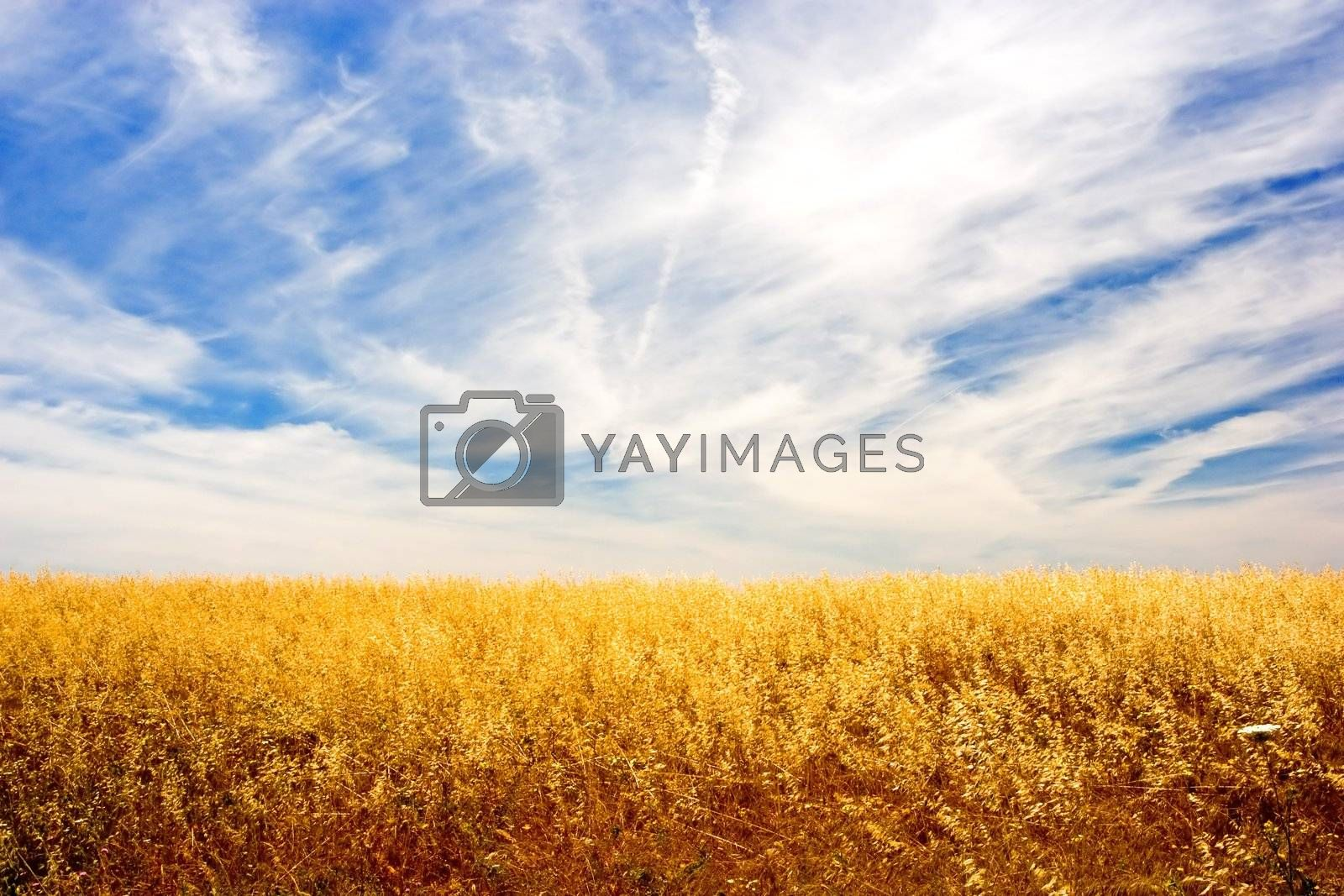 Golden wheat field and sky