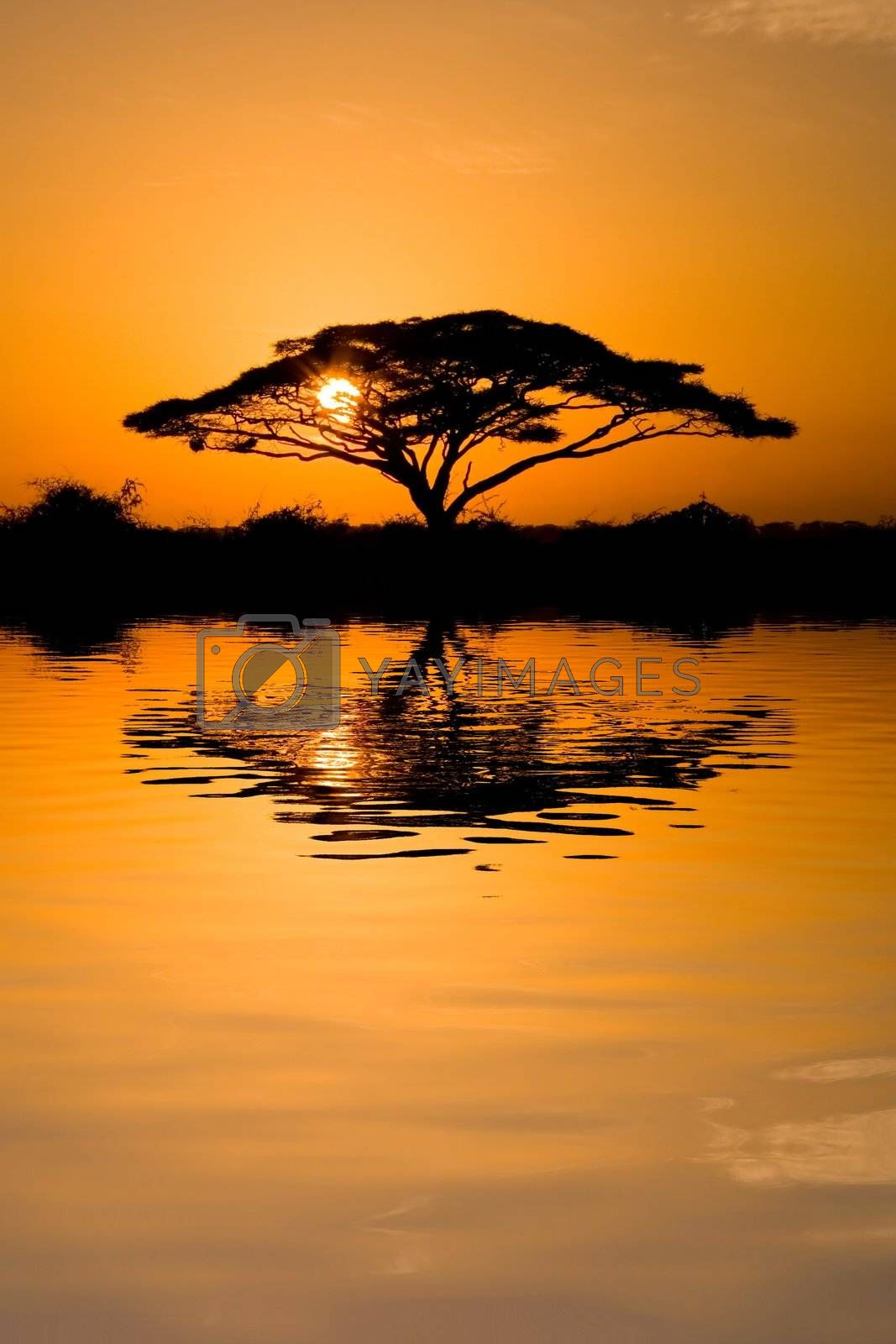 Beautiful african sunrise reflected on lake, with backlit acacia tree on Amboseli Natural Park, Kenya.