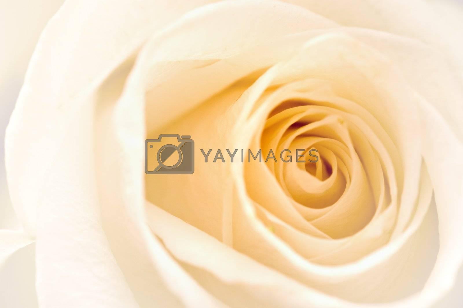 Soft focused white rose detail