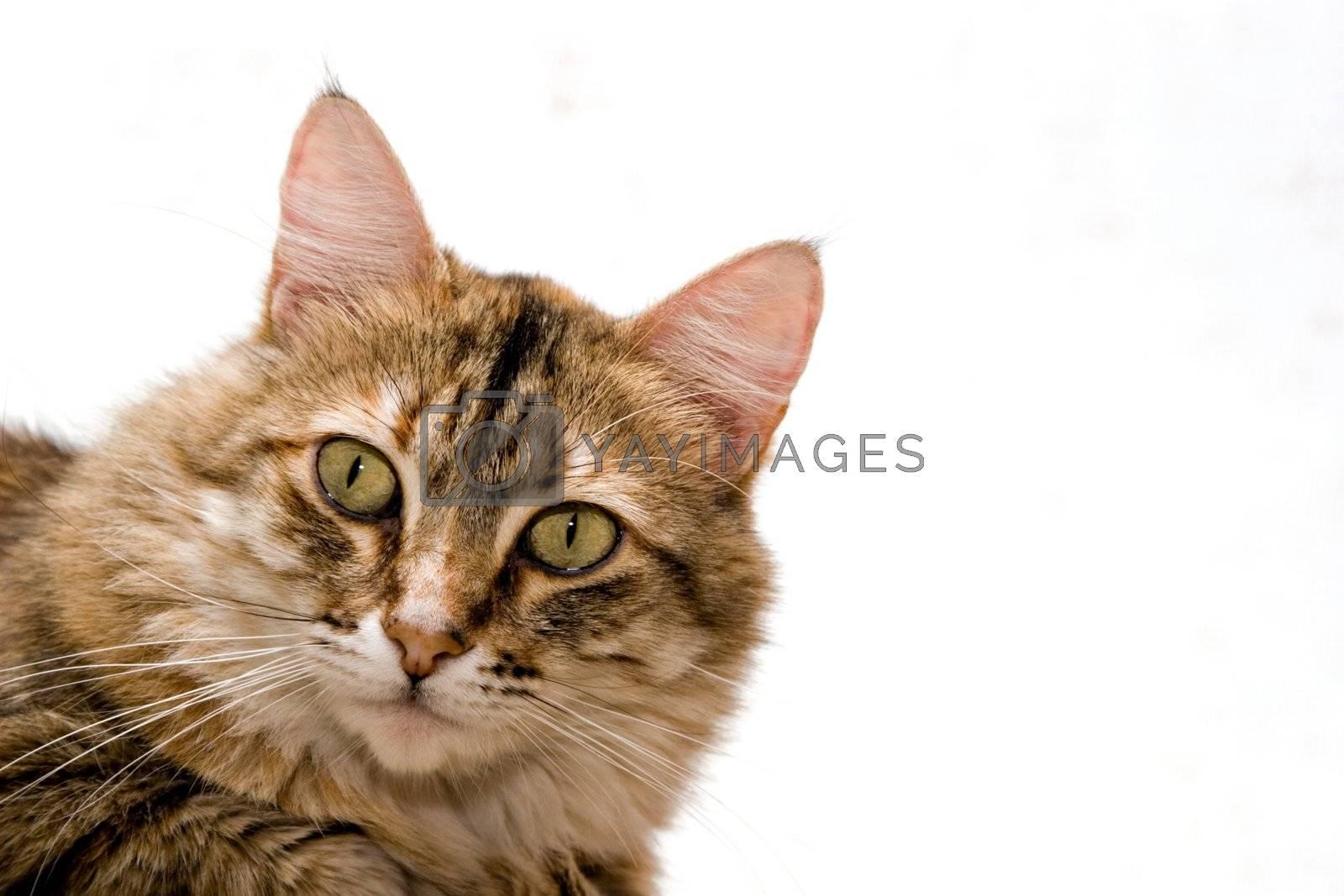 Cat close-up isolated on white background
