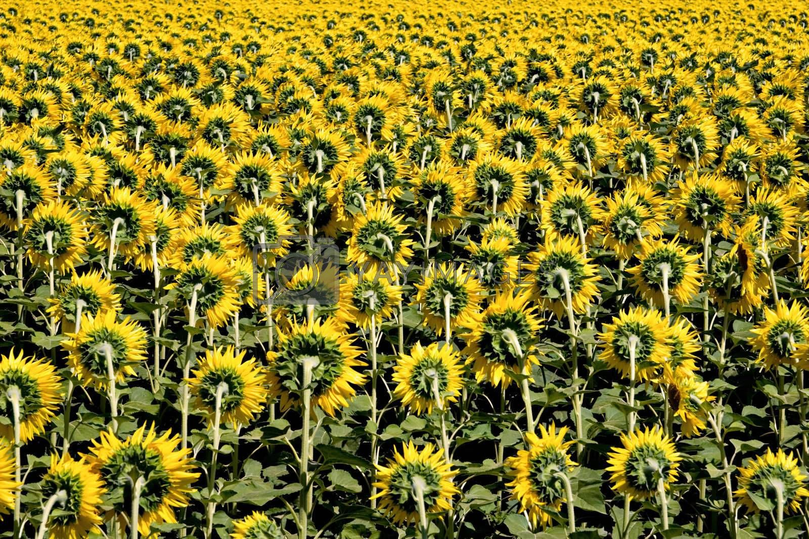 Field of Sunflowers background