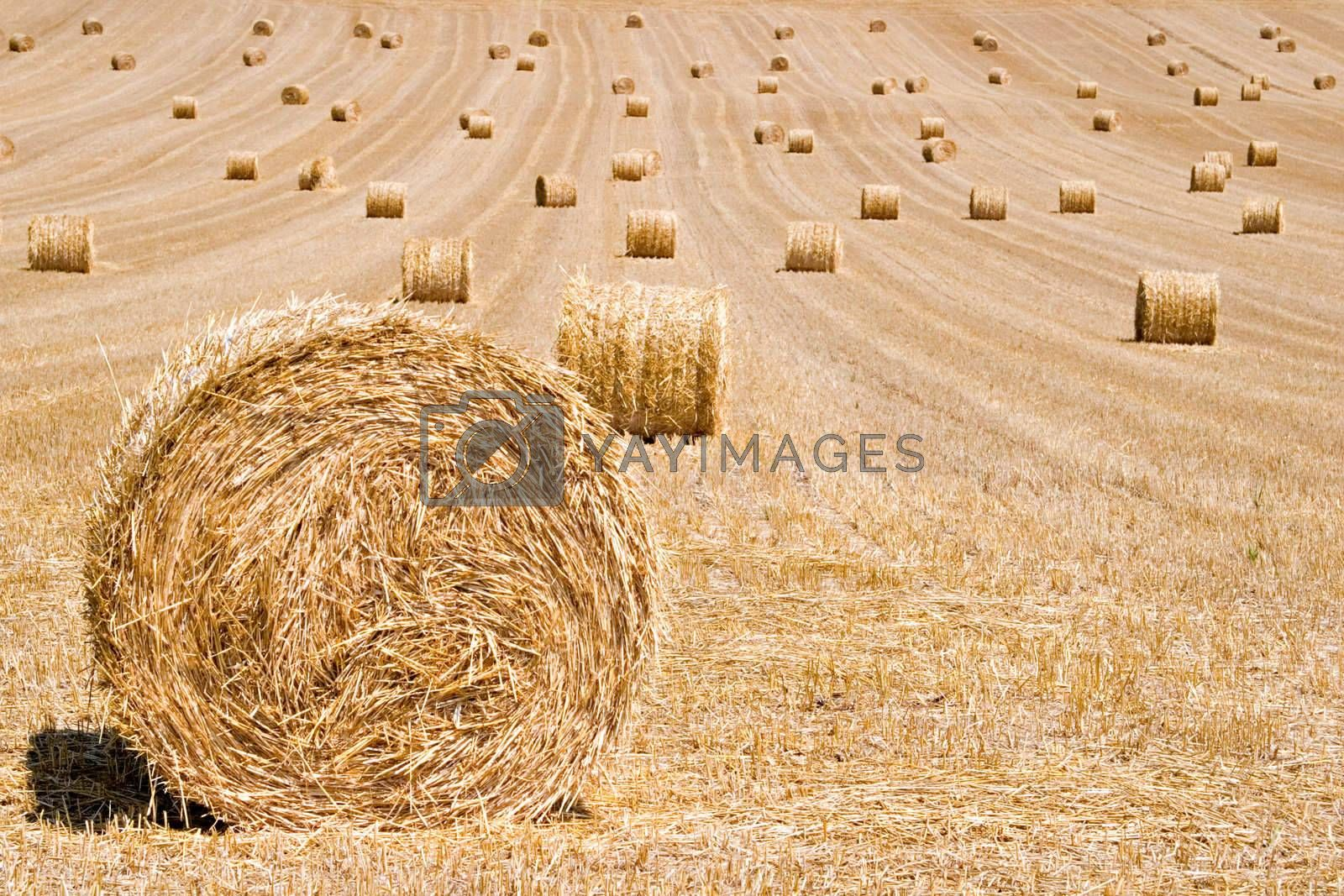 Hay bales on harvested field waiting to be collected