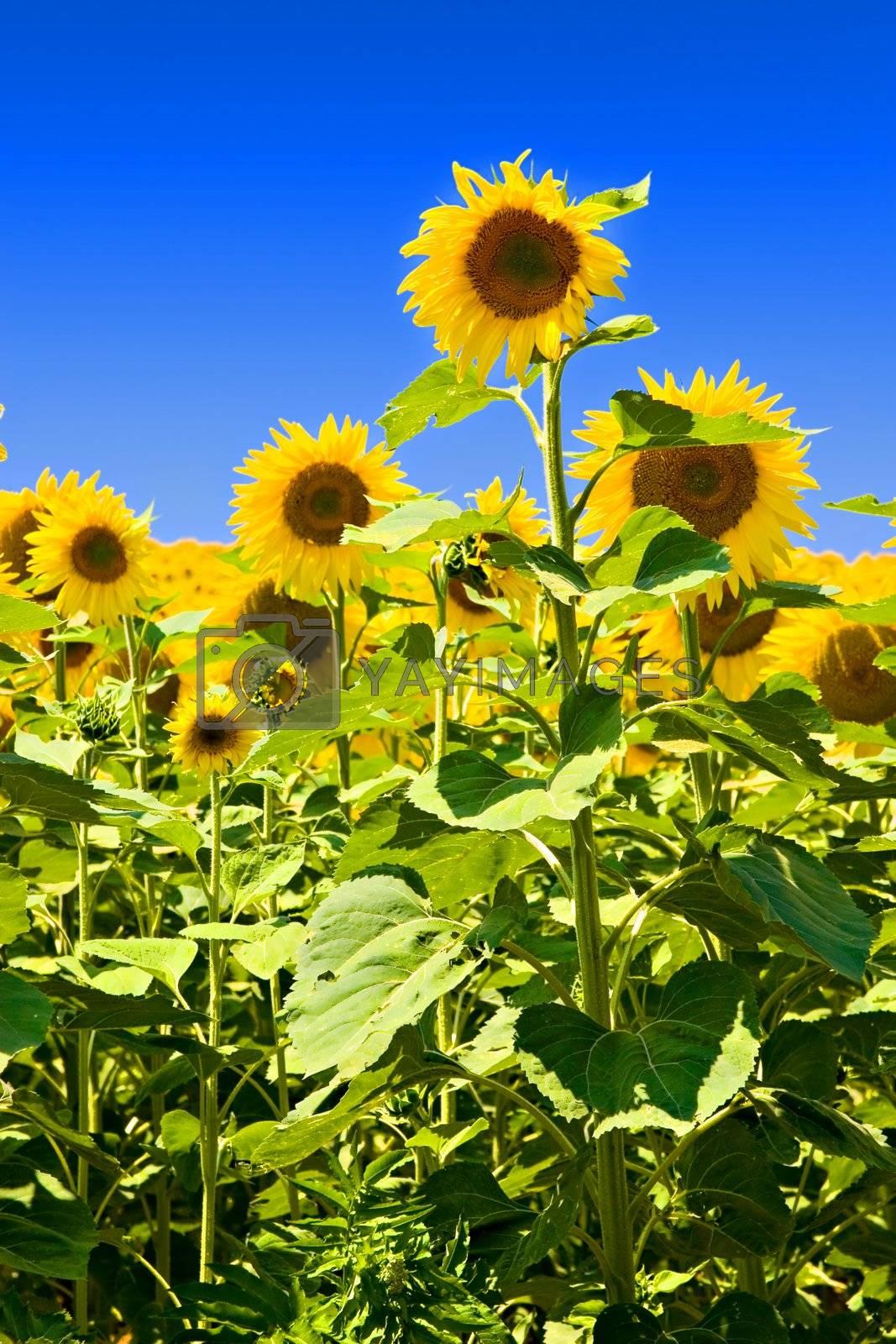 Sunflowers against deep blue sky