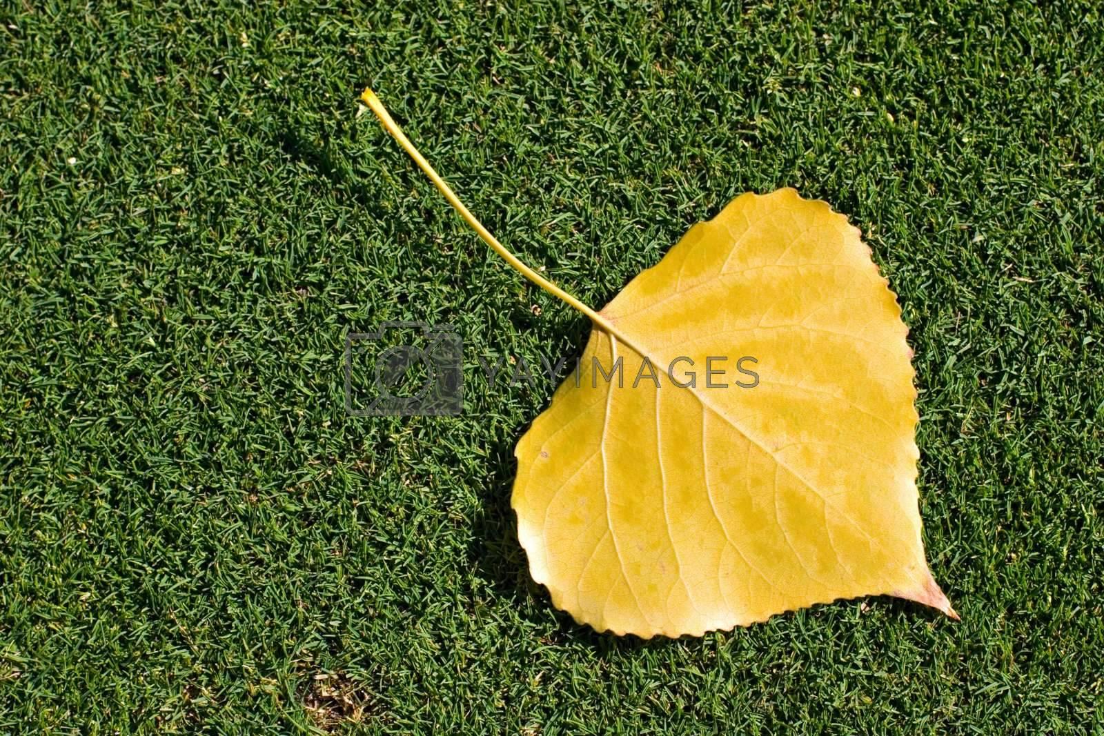Yellow leaf fallen on grass
