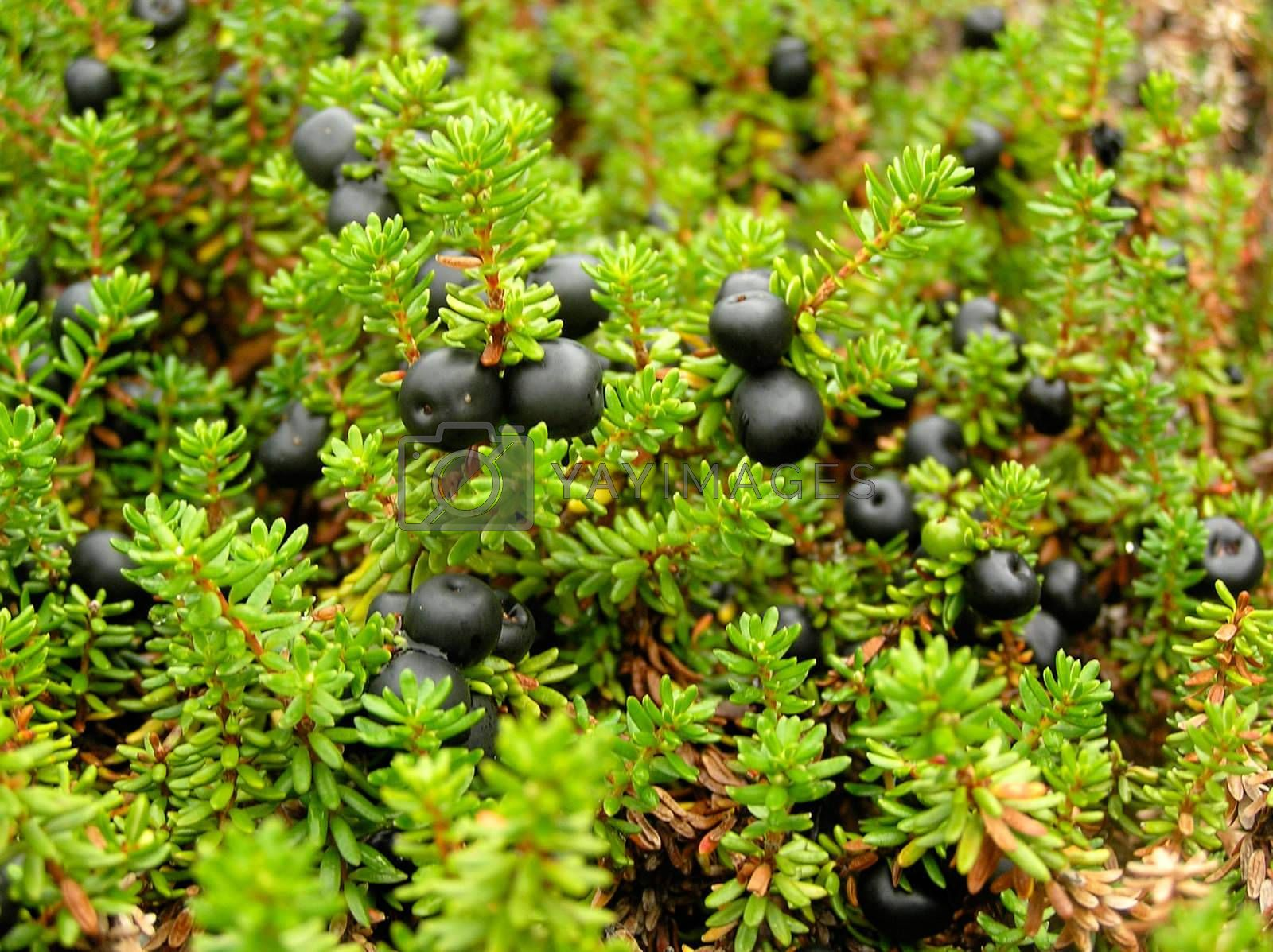 The black ripe northern wood berry growing in damp wood