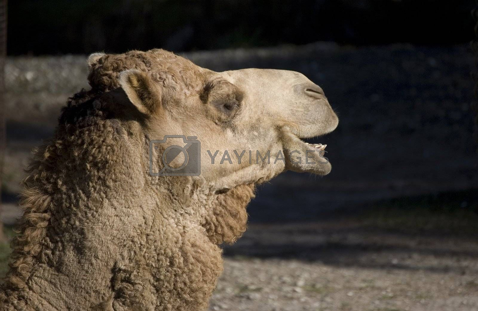 Camel looking at black copy space with mouth open
