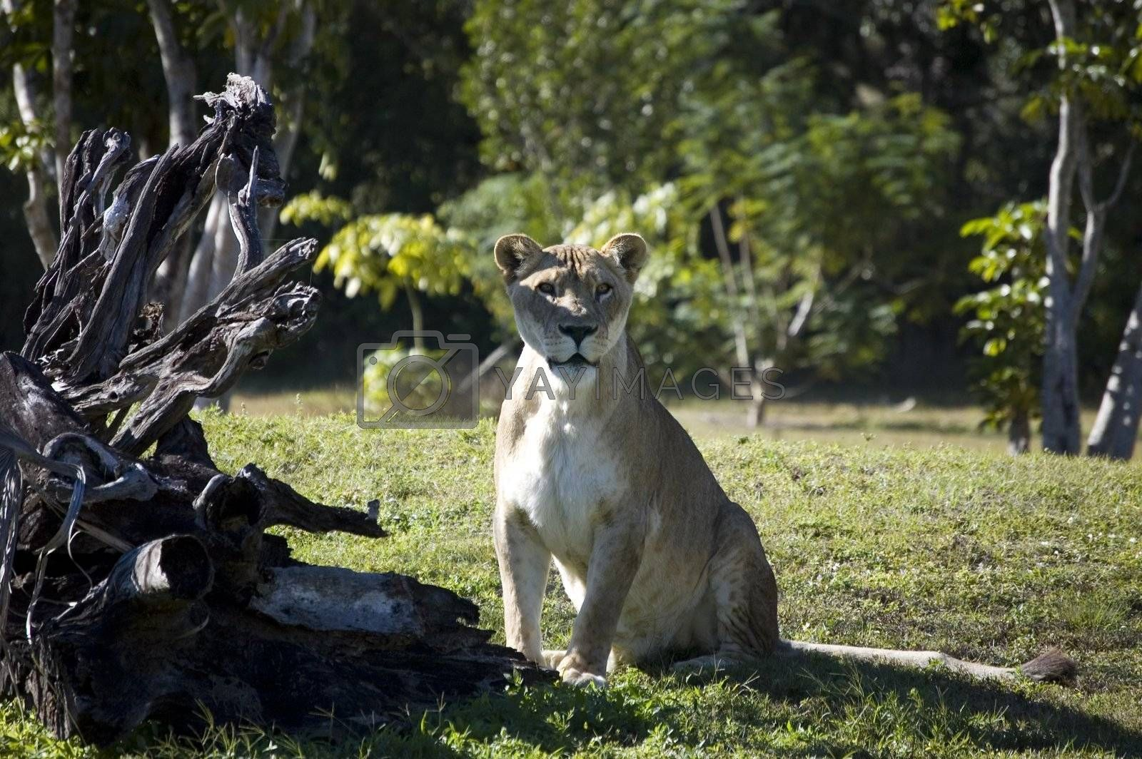Lioness sitting next to a overturned tree staring at viewer