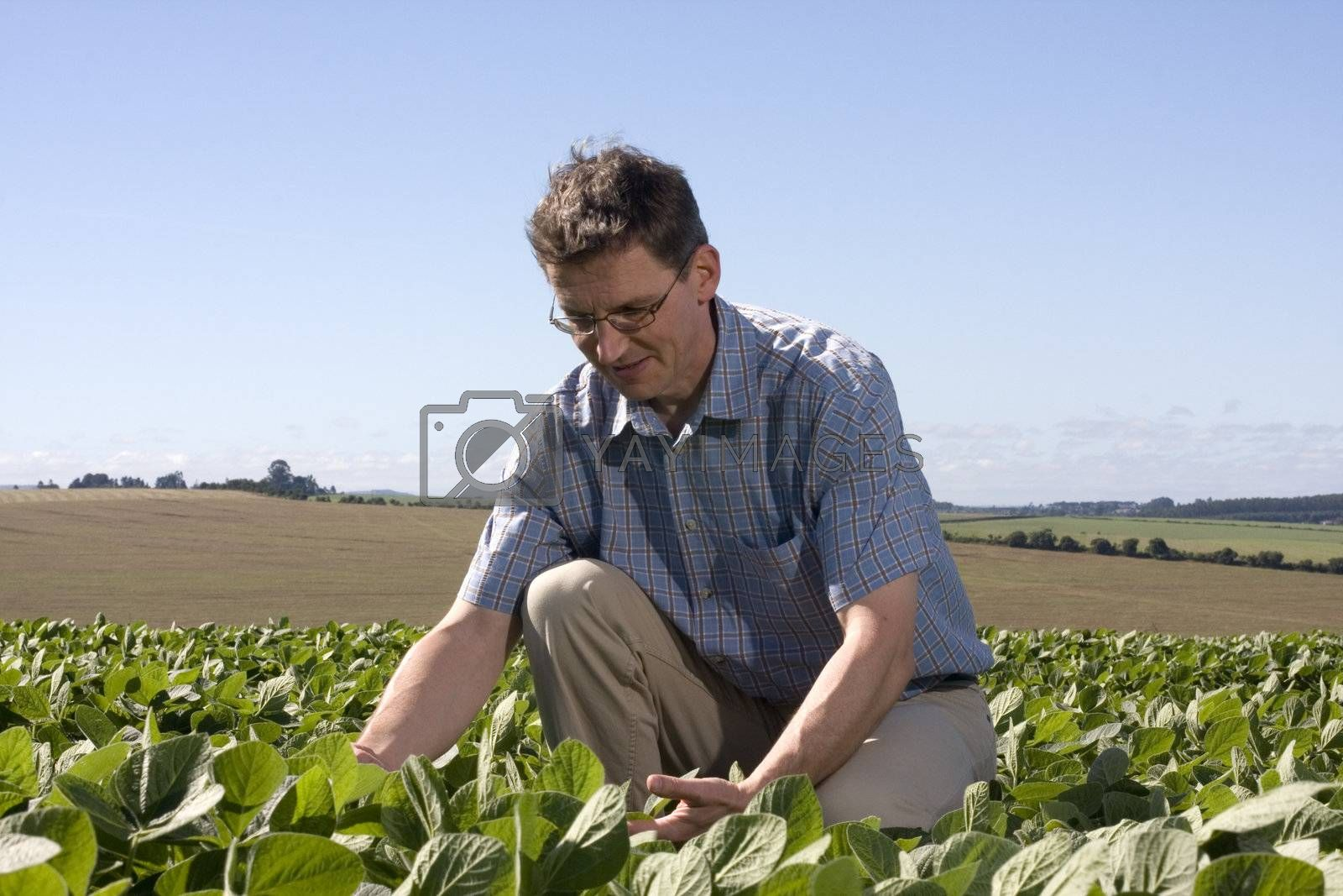 Farmer in a soya field examining the crop