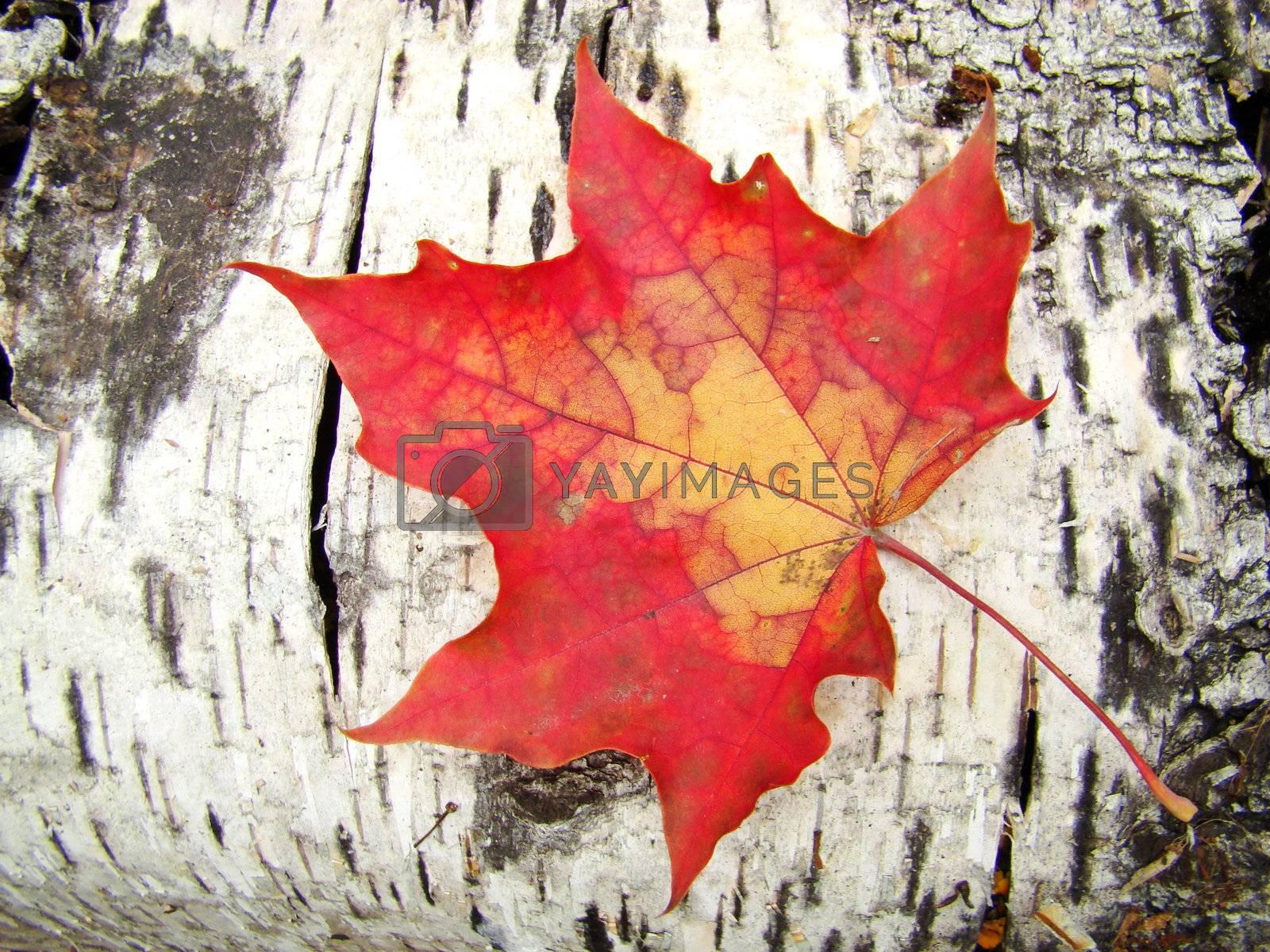Maple sheet on a bark of a birch