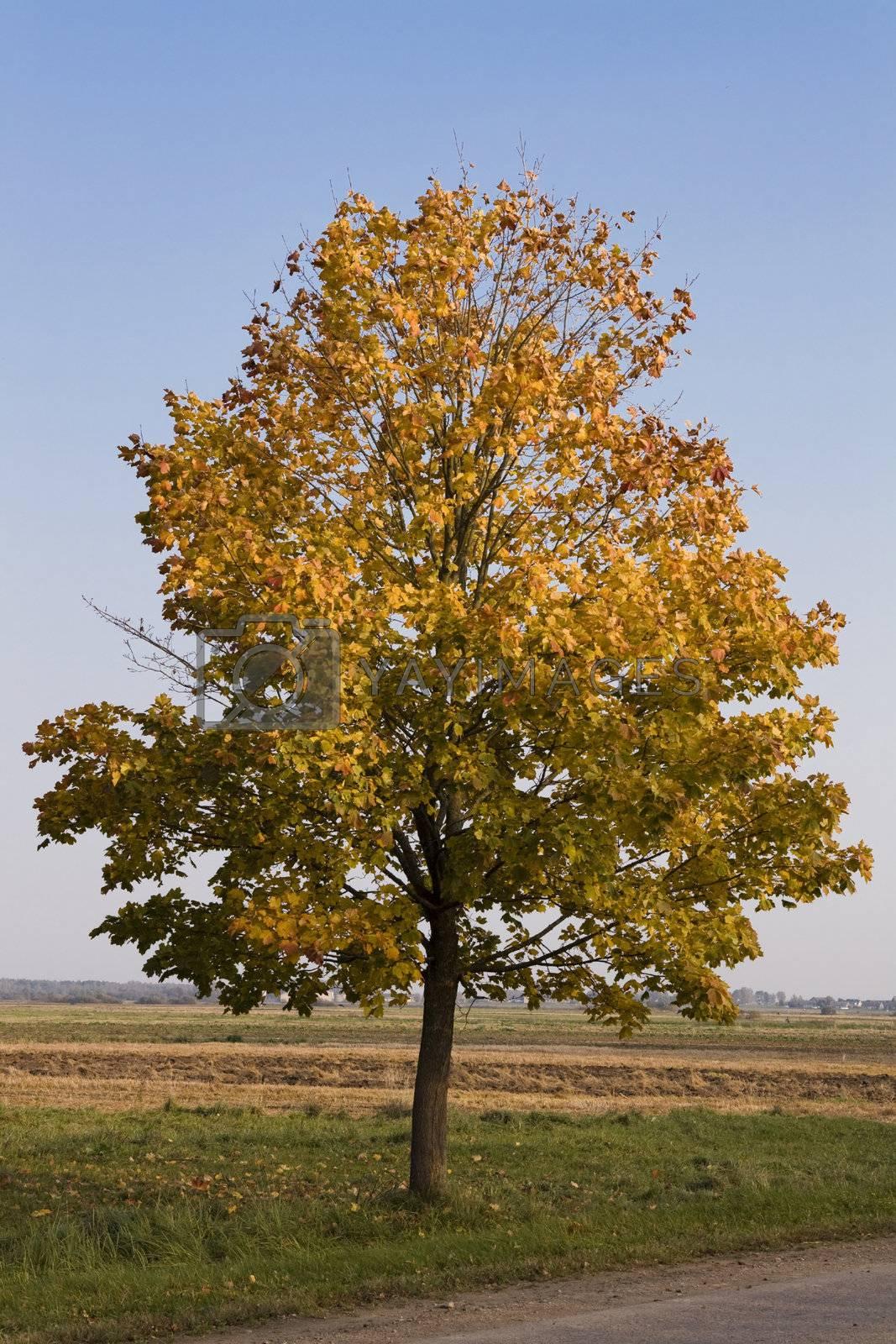 Single autumn tree losing its golden leafs