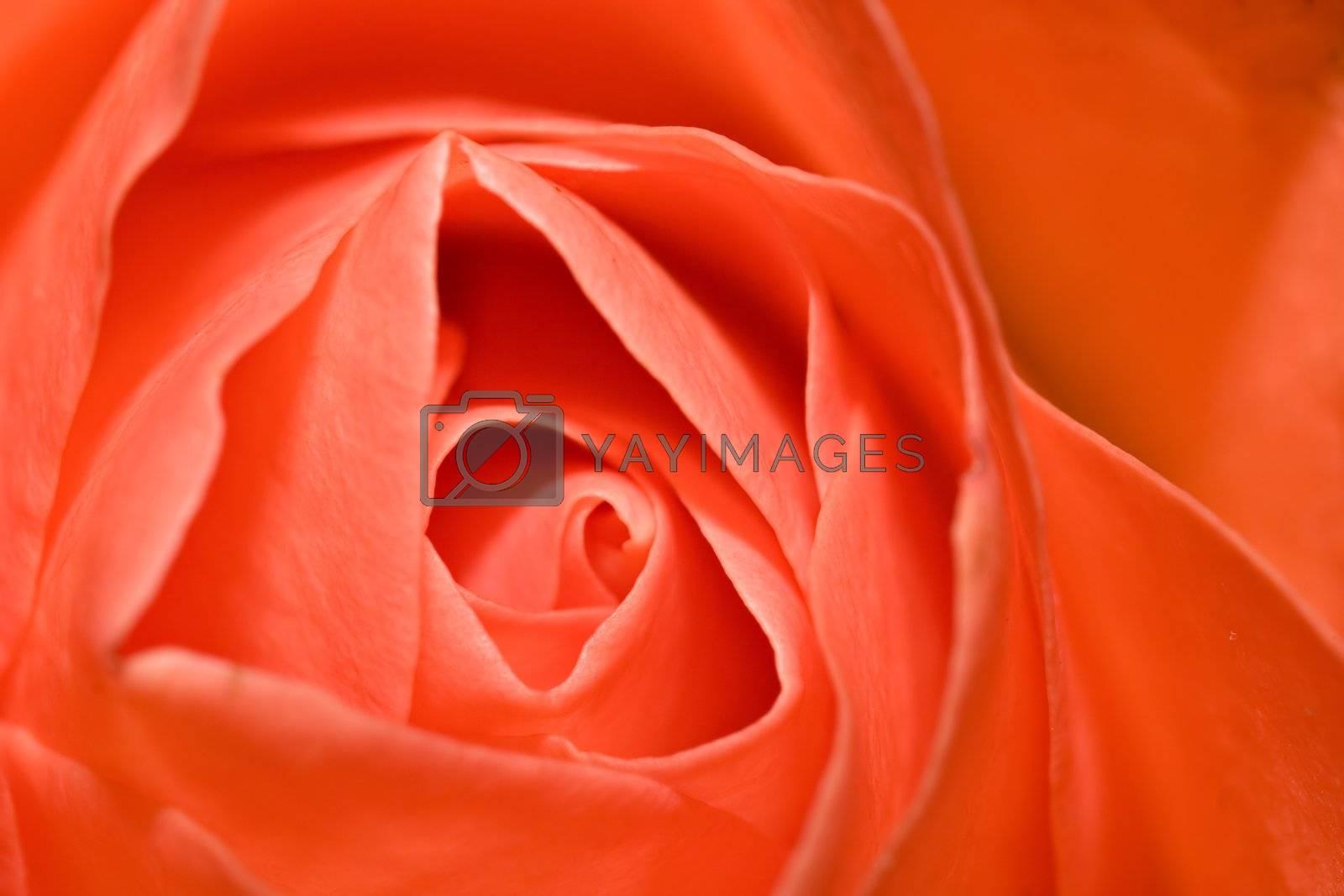 Macro shot of a red/orange rose.