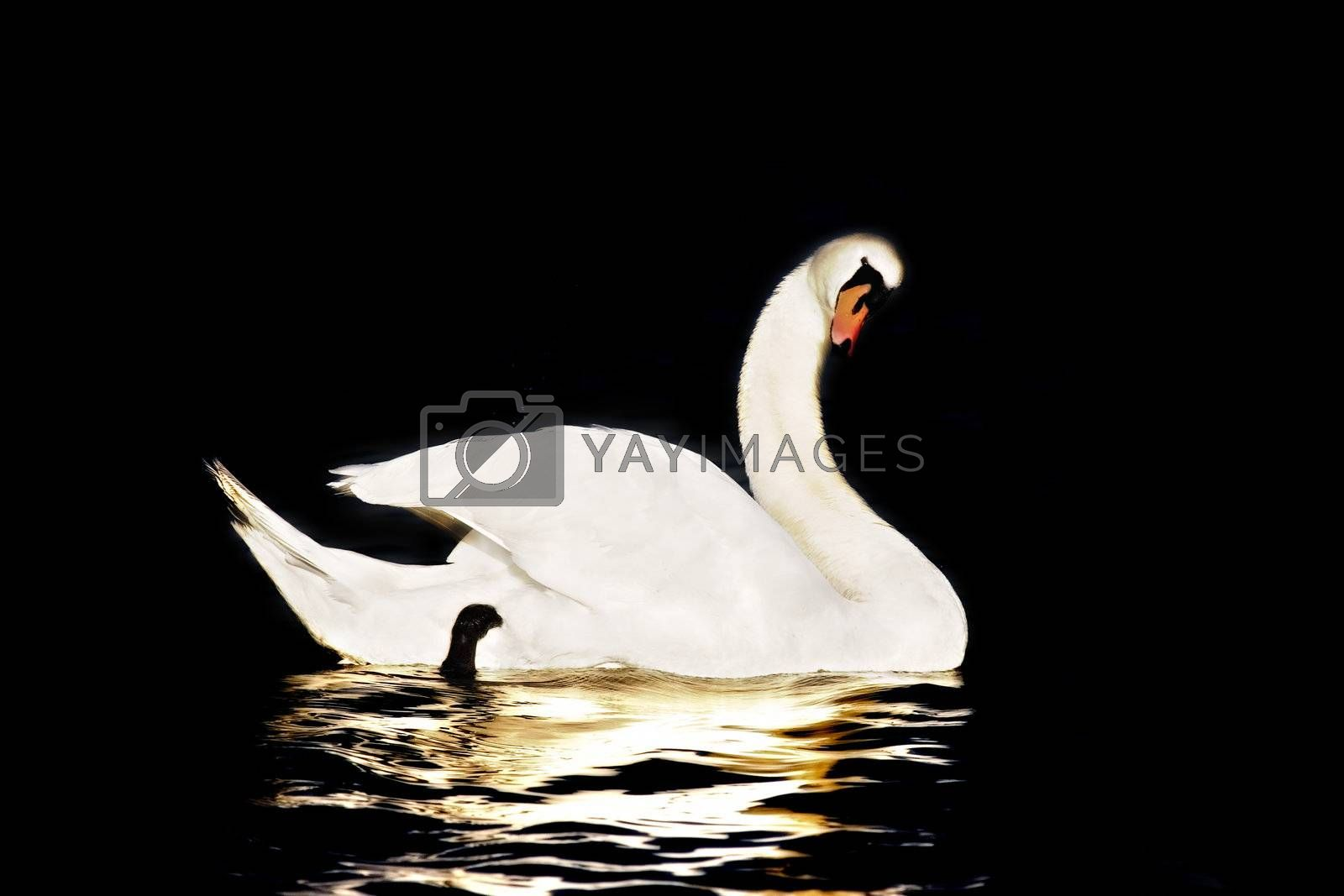 Swan in Black Background