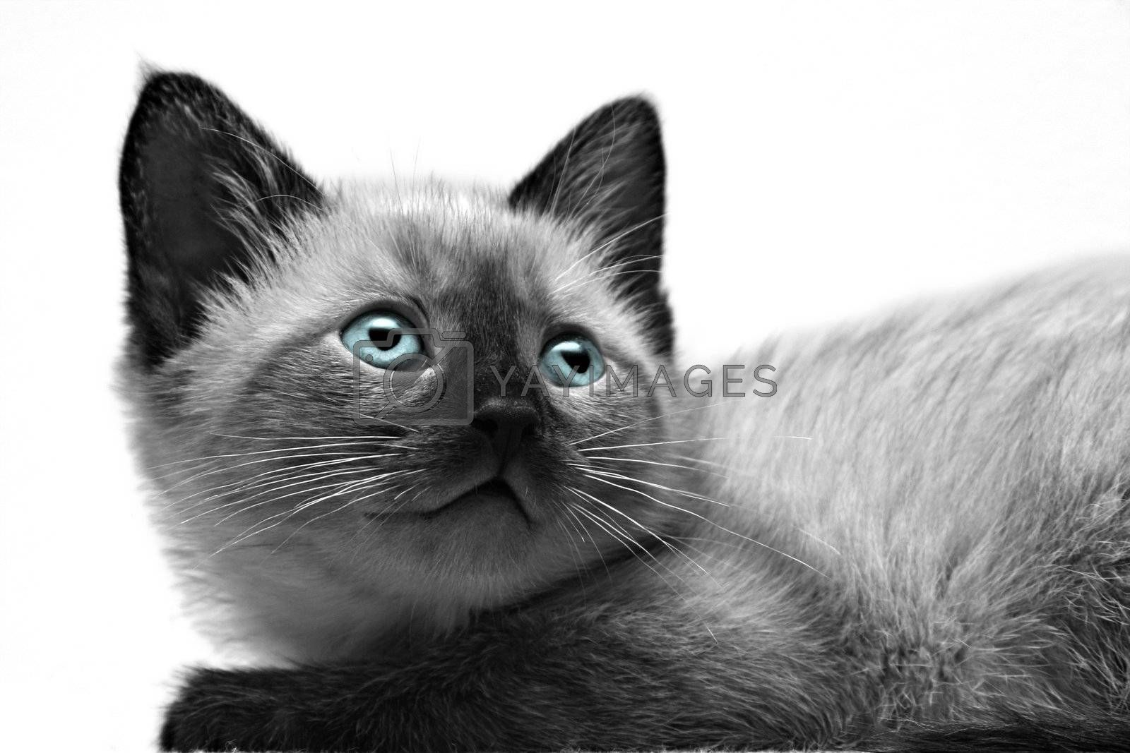 Small kitten close-up on white background.