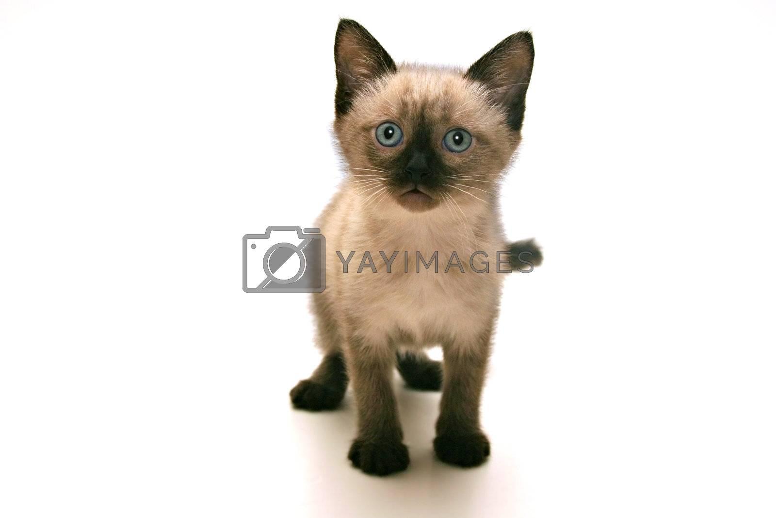 Small kitten on white background.