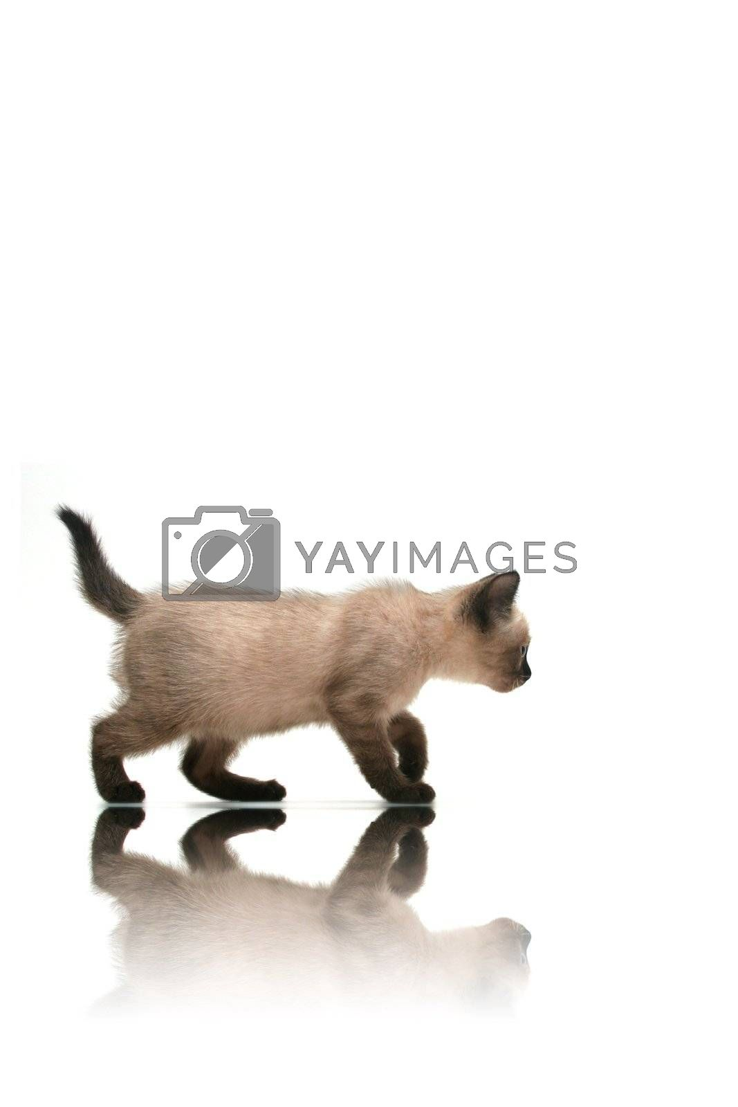 Small kitten walking with reflection on white background.