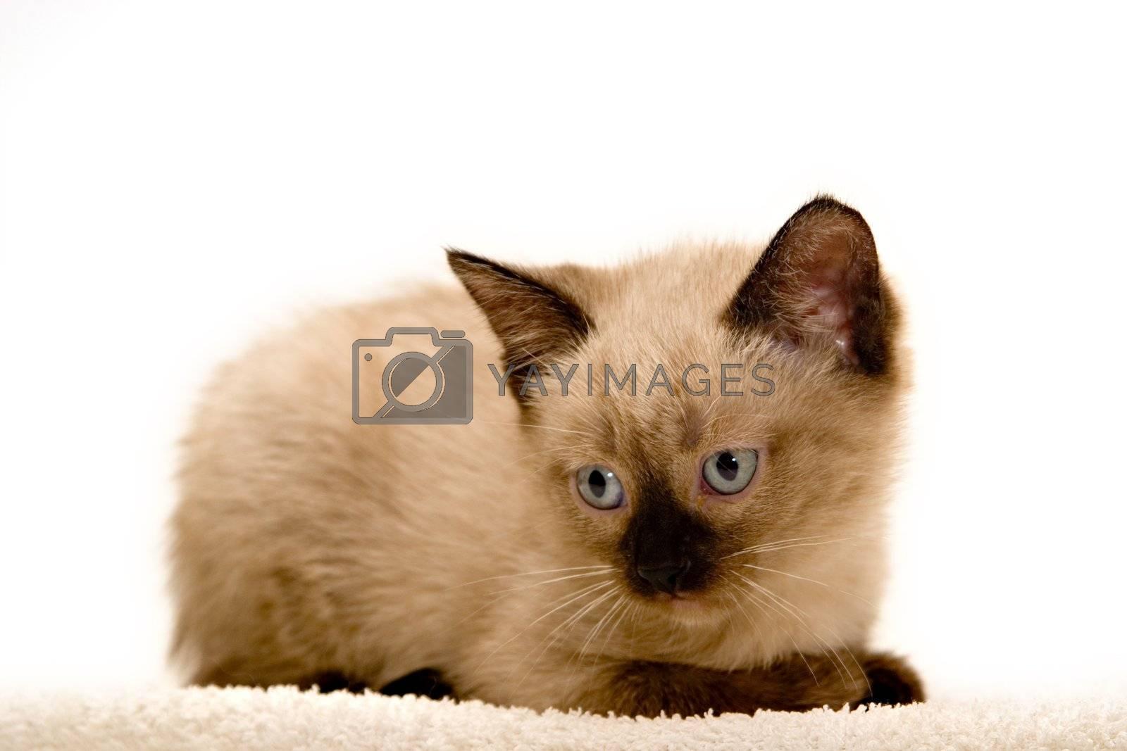 Small kitten, lying down, on white background.