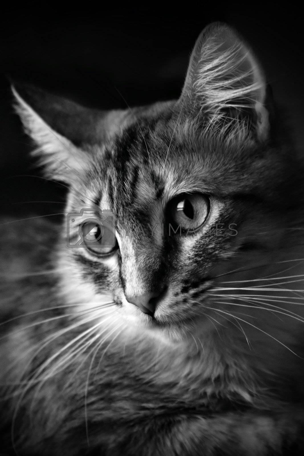 Black & White cat in black background
