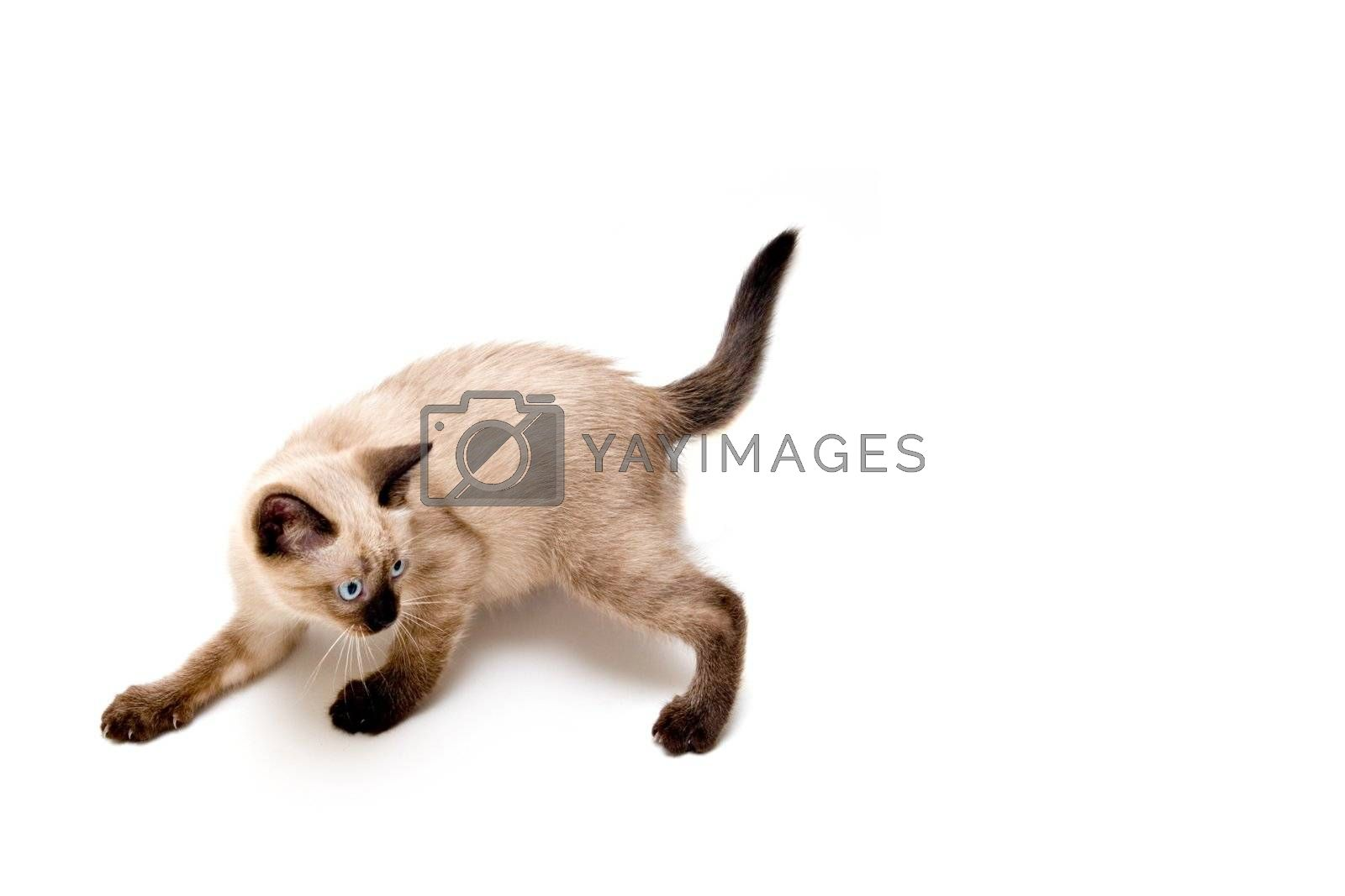 Baby siamese kitten, on a funny pose, playing.