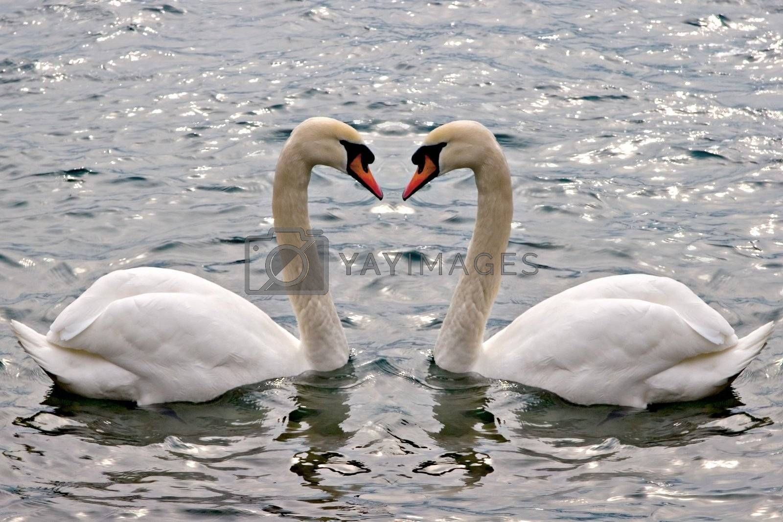 A couple of swans swimming. Concept: relationship / love.