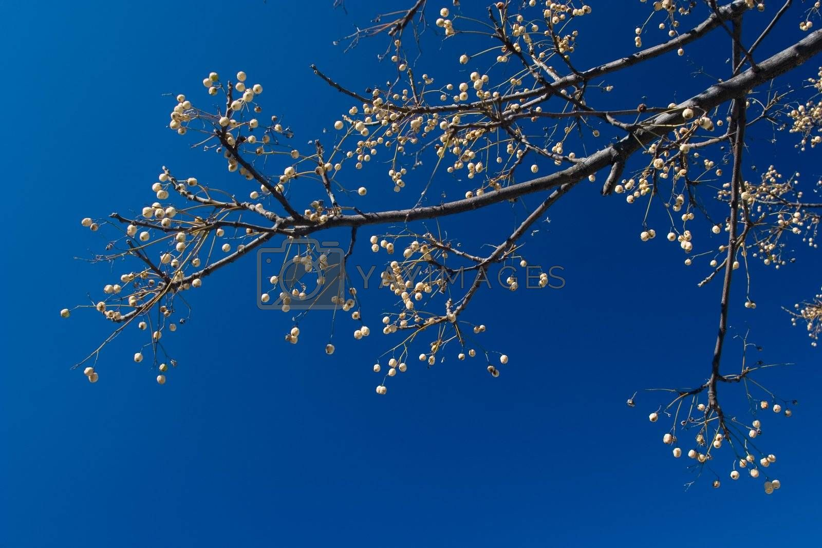 Spring Time: Branch of tree against deep blue sky