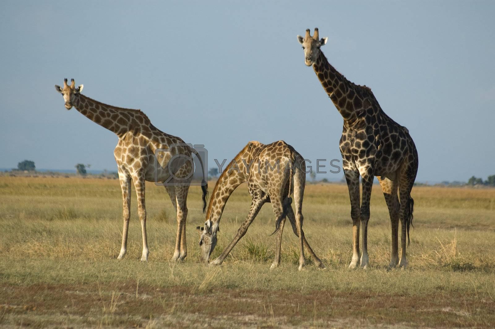 Drinking giraffes by jivz