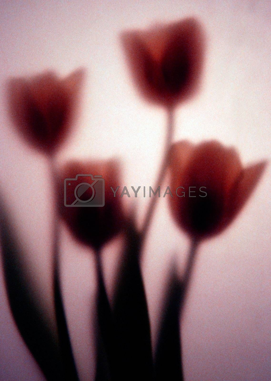 Four tulips photographed behind art paper