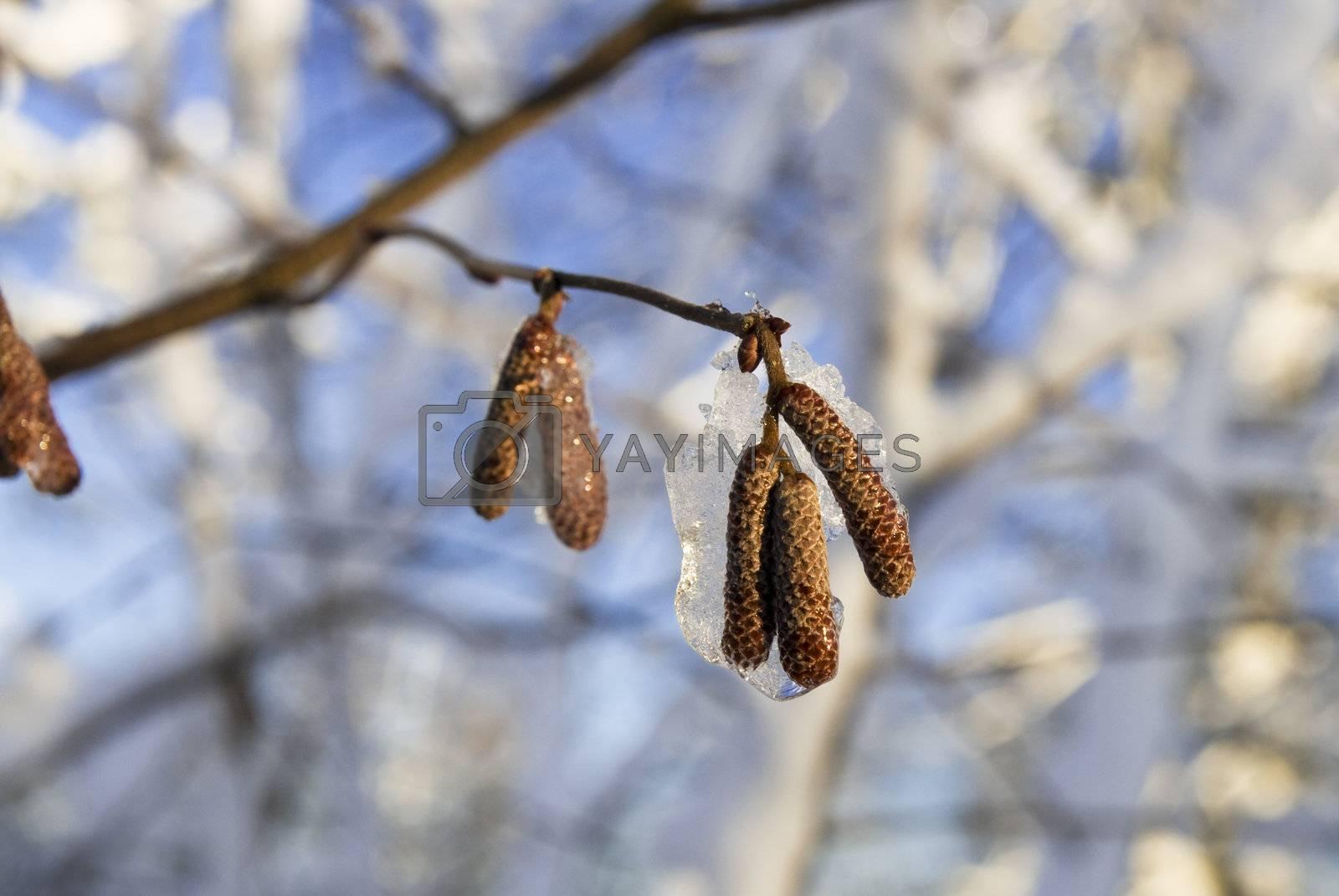 Frozen nut-tree's catkins