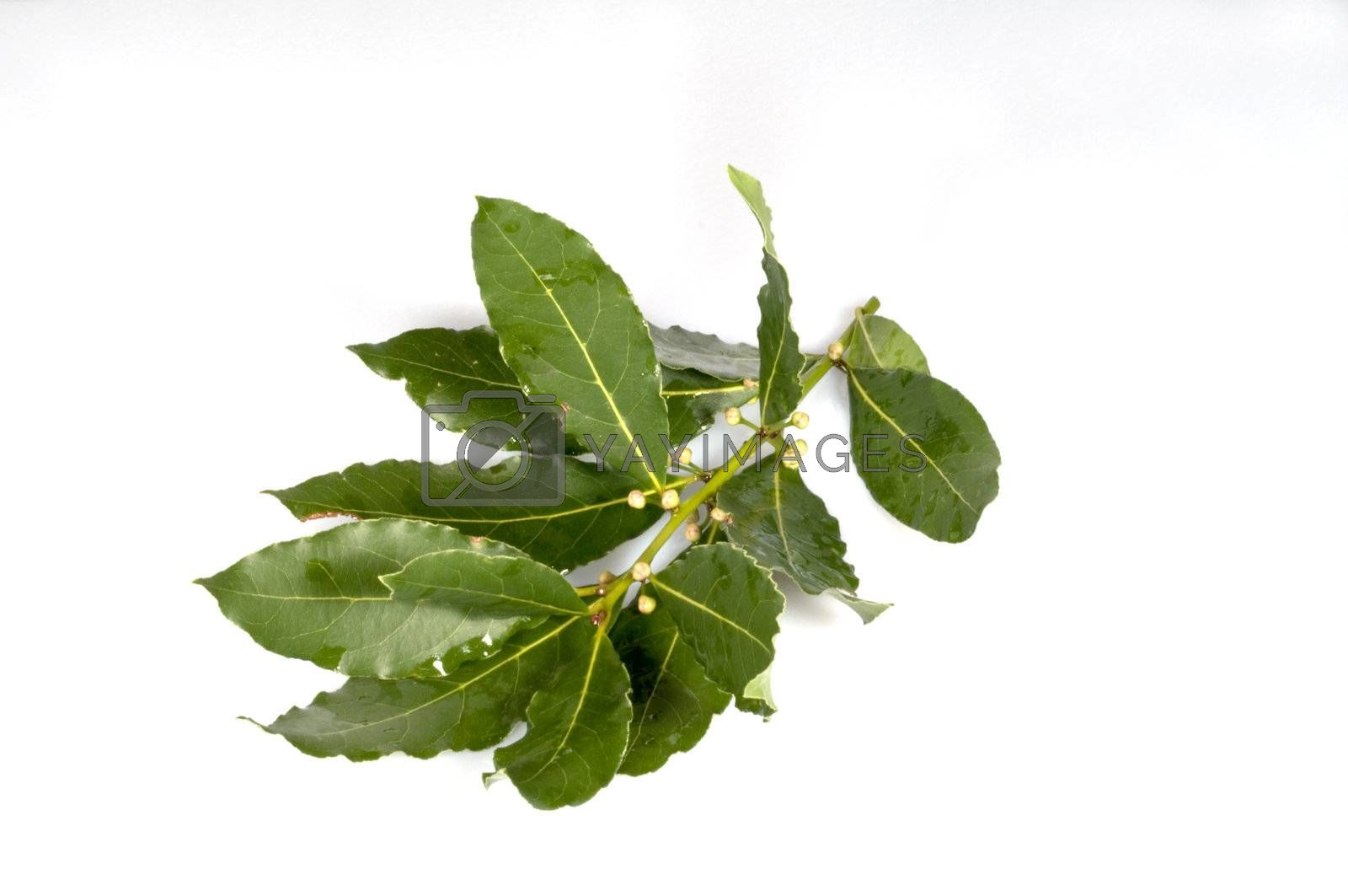 sprig of laurel Goggi with water on a white background