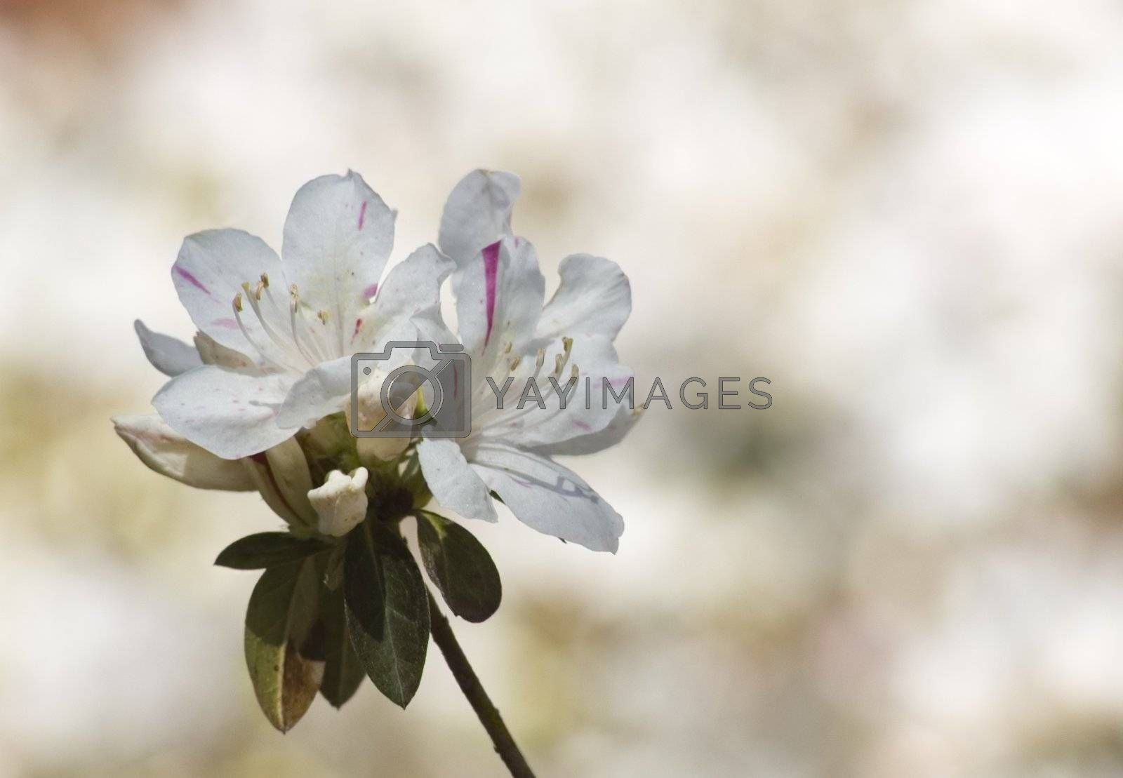 Single azalea blossom in focus against a blurred garden background.