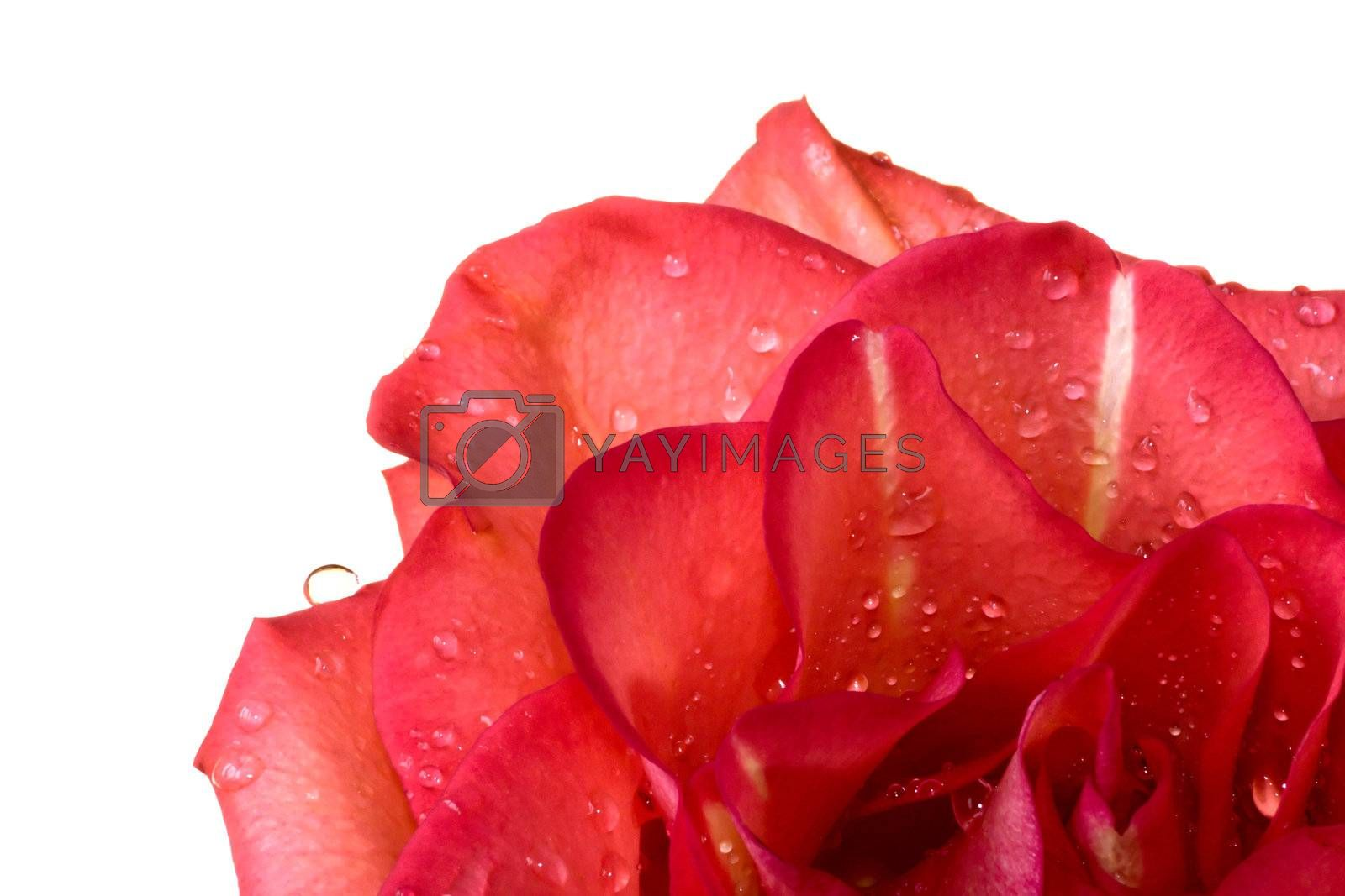 Roses covered with drops. Isolated on a white background.