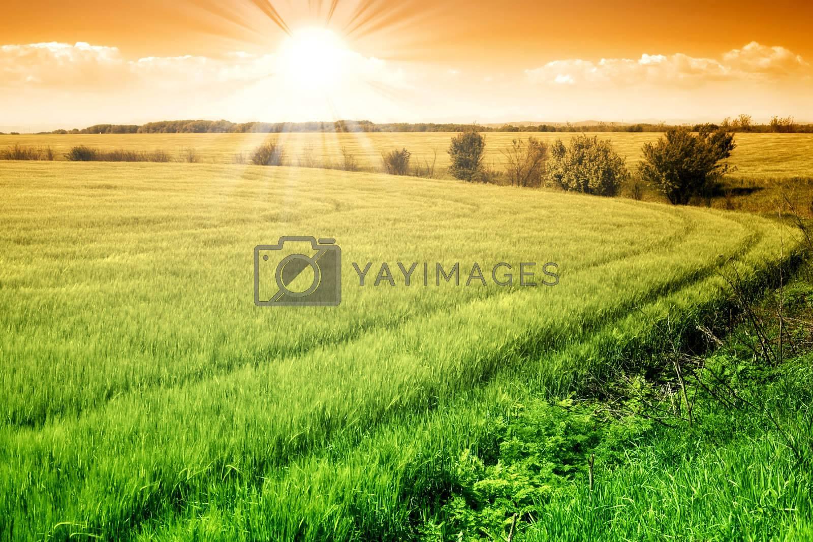 Field of green fresh grain and sunny orange sky