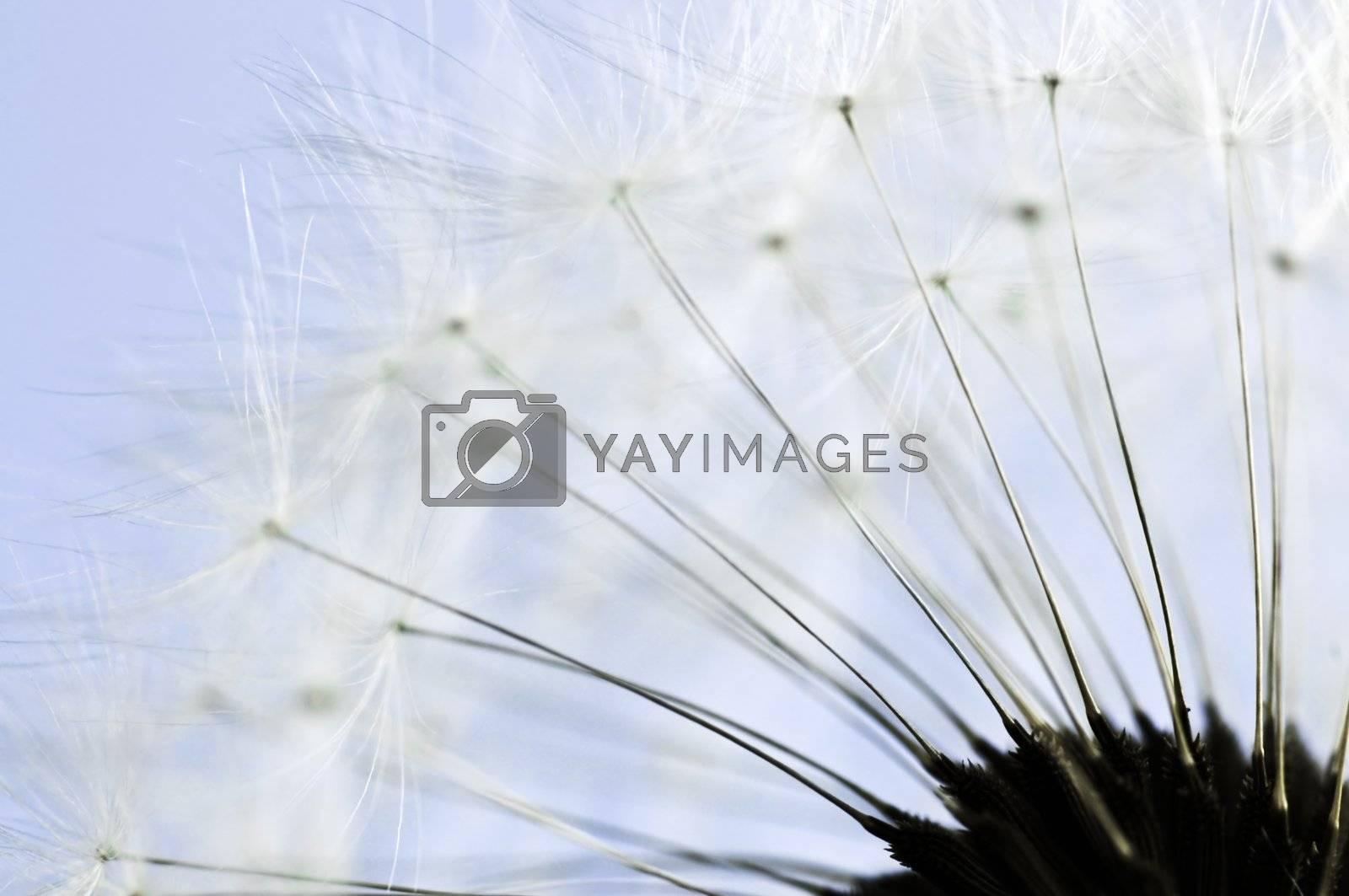Dandelion by elenathewise