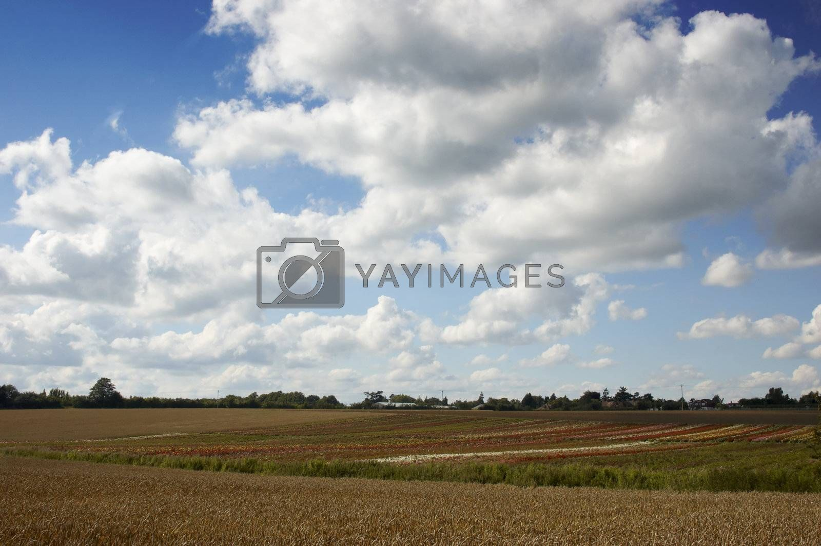 A summer landscape with wheat and blue sky