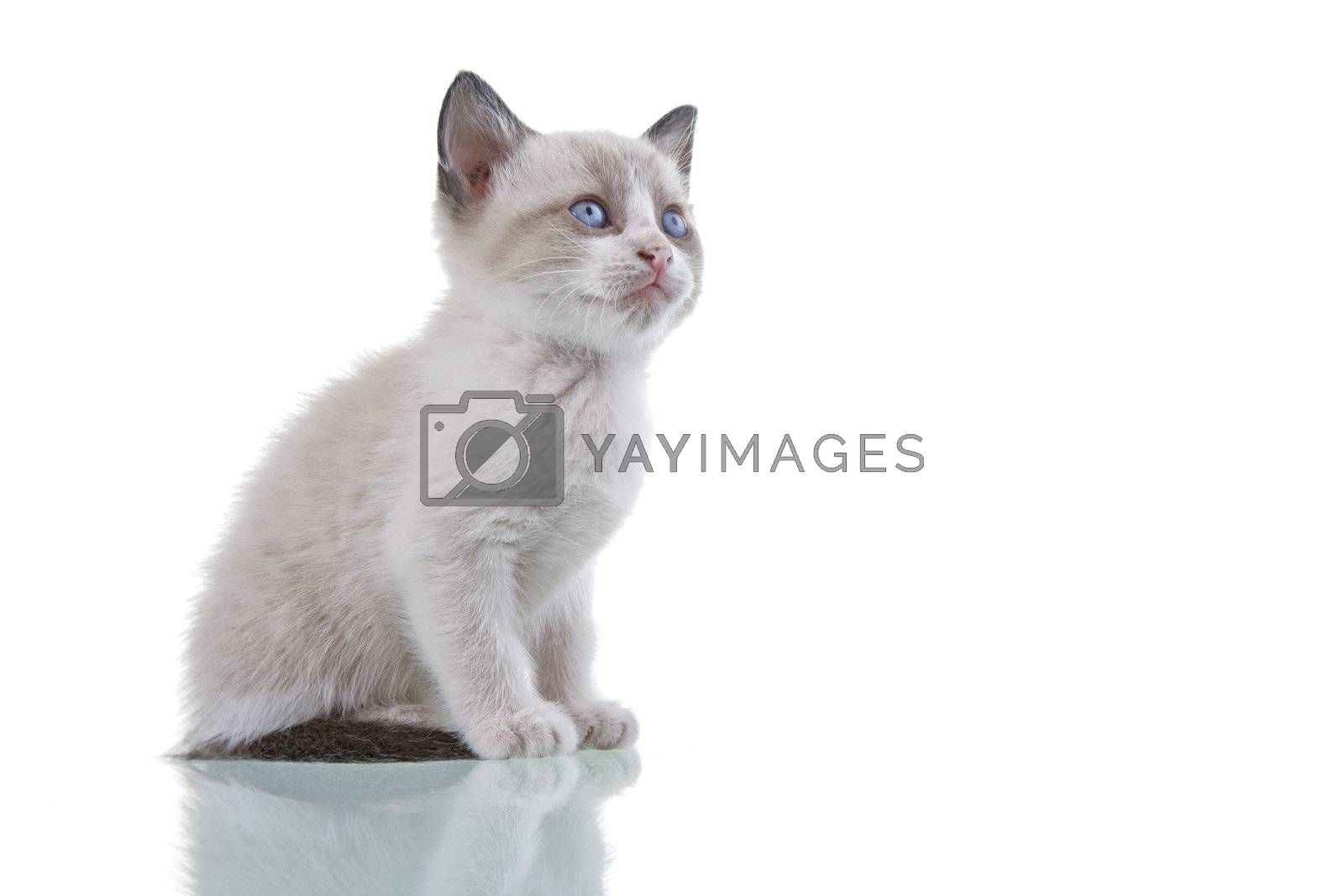 Adorable baby kitten sitting isolated on white background.