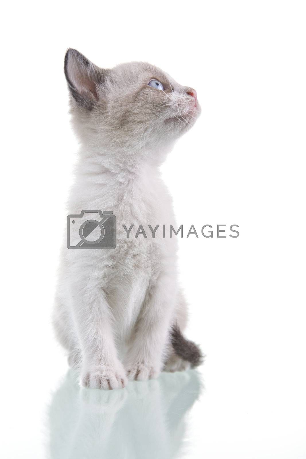 Adorable baby kitten sitting and looking up, isolated on white background.