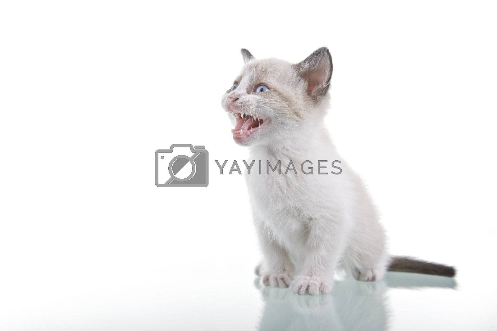 Adorable baby kitten with cute ferocious look isolated on white background.