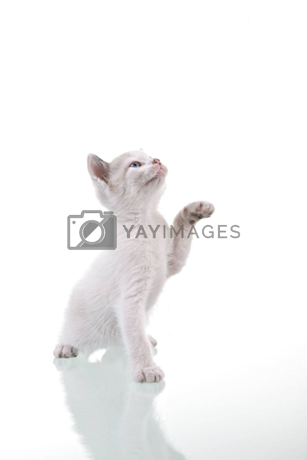 Adorable baby kitten playing. Isolated on white.