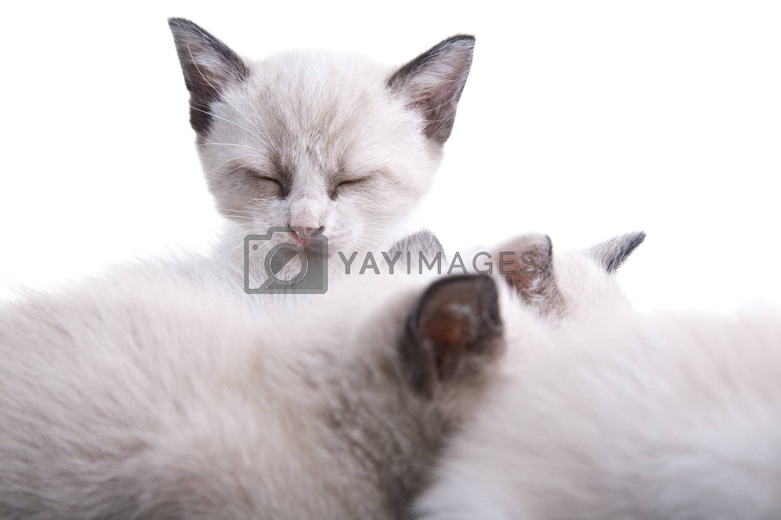 Adorable baby kittens sleeping together. Isolated on white.