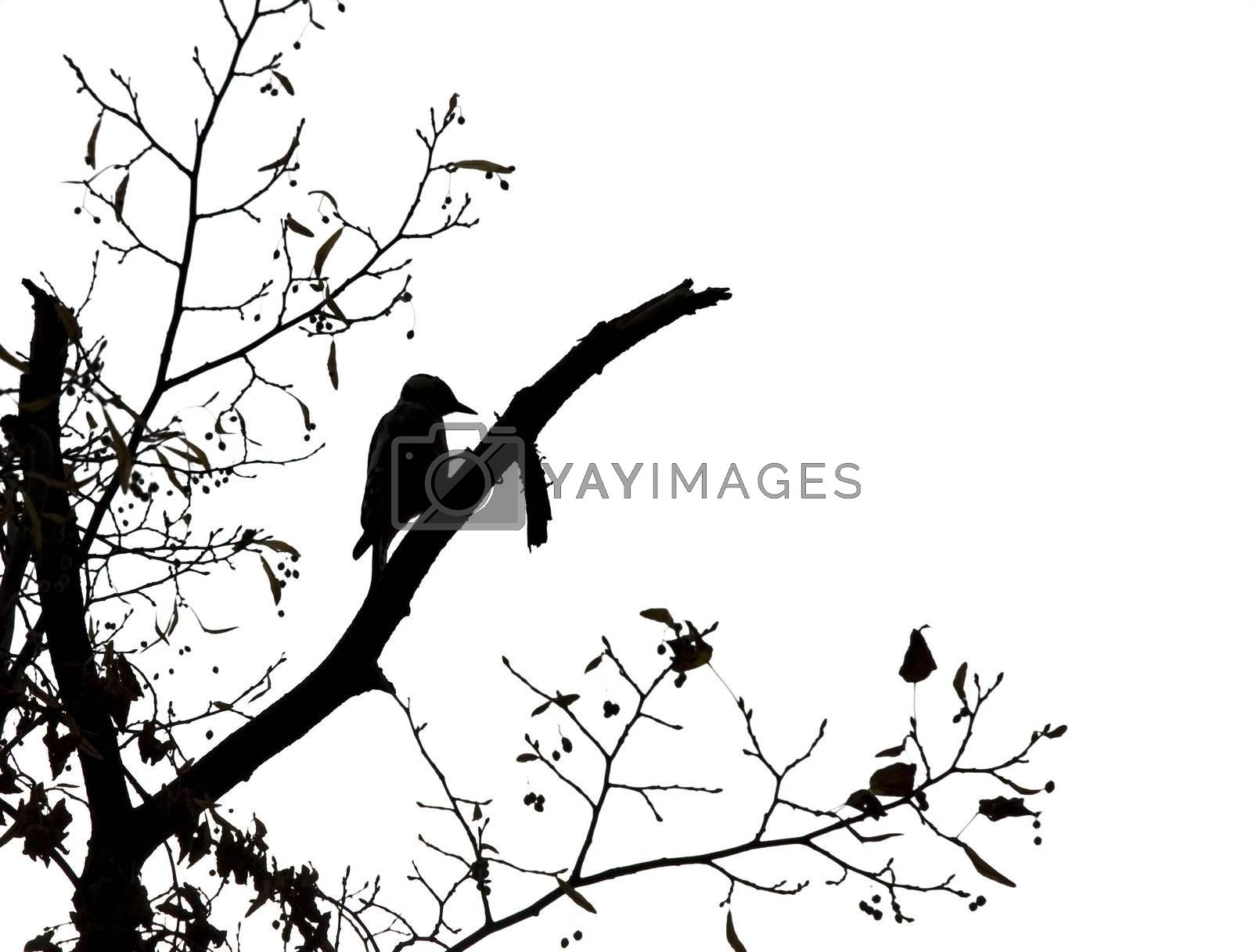 Silhouette of a woodpecker against white background