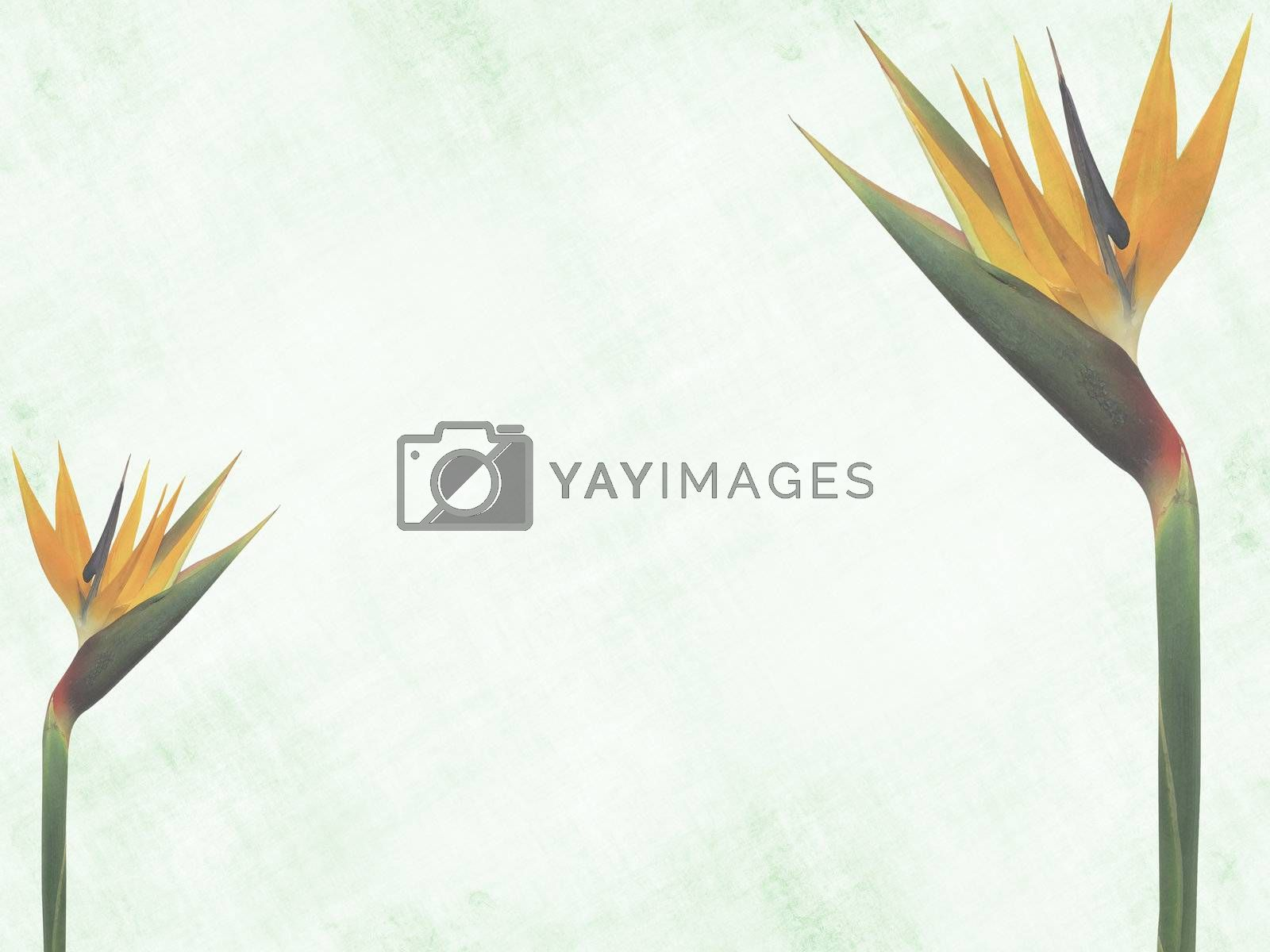 Background with two bird-of-paradise flowers